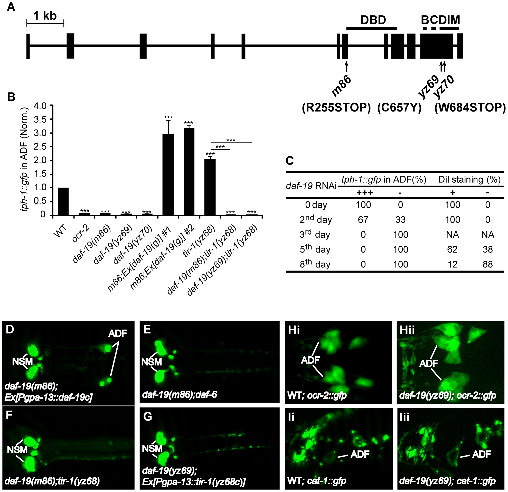 <i>daf-19</i> is required for <i>tph-1</i> expression in the ADF neurons.