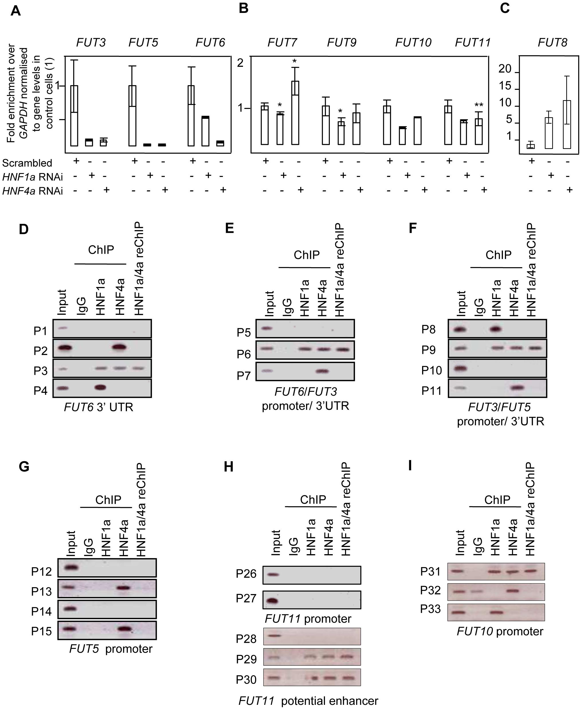 HNF1α is major regulator of the fucosyltransferase genes.