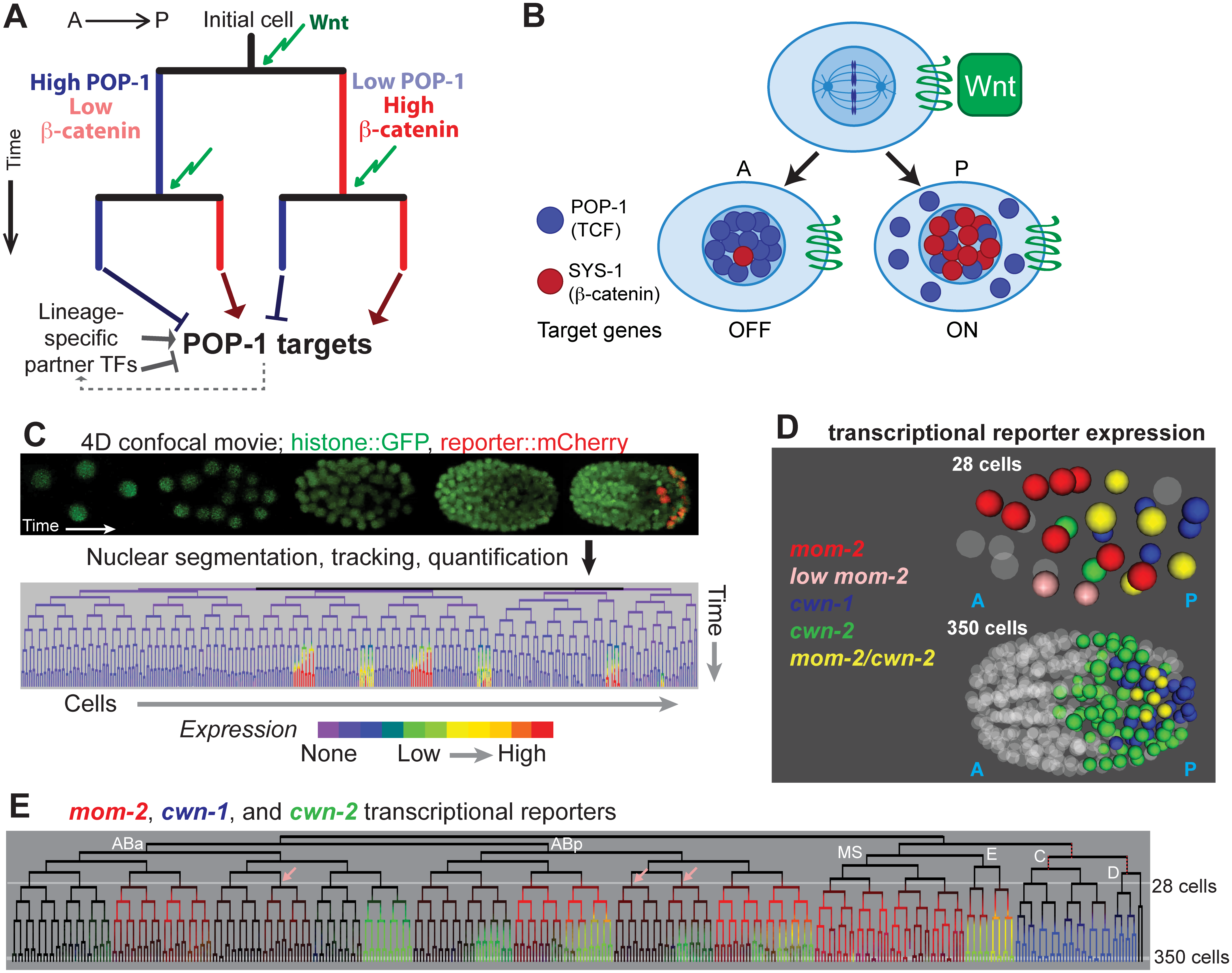 Wnt signaling and sources of Wnt ligand in the early <i>C</i>. <i>elegans</i> embryo.