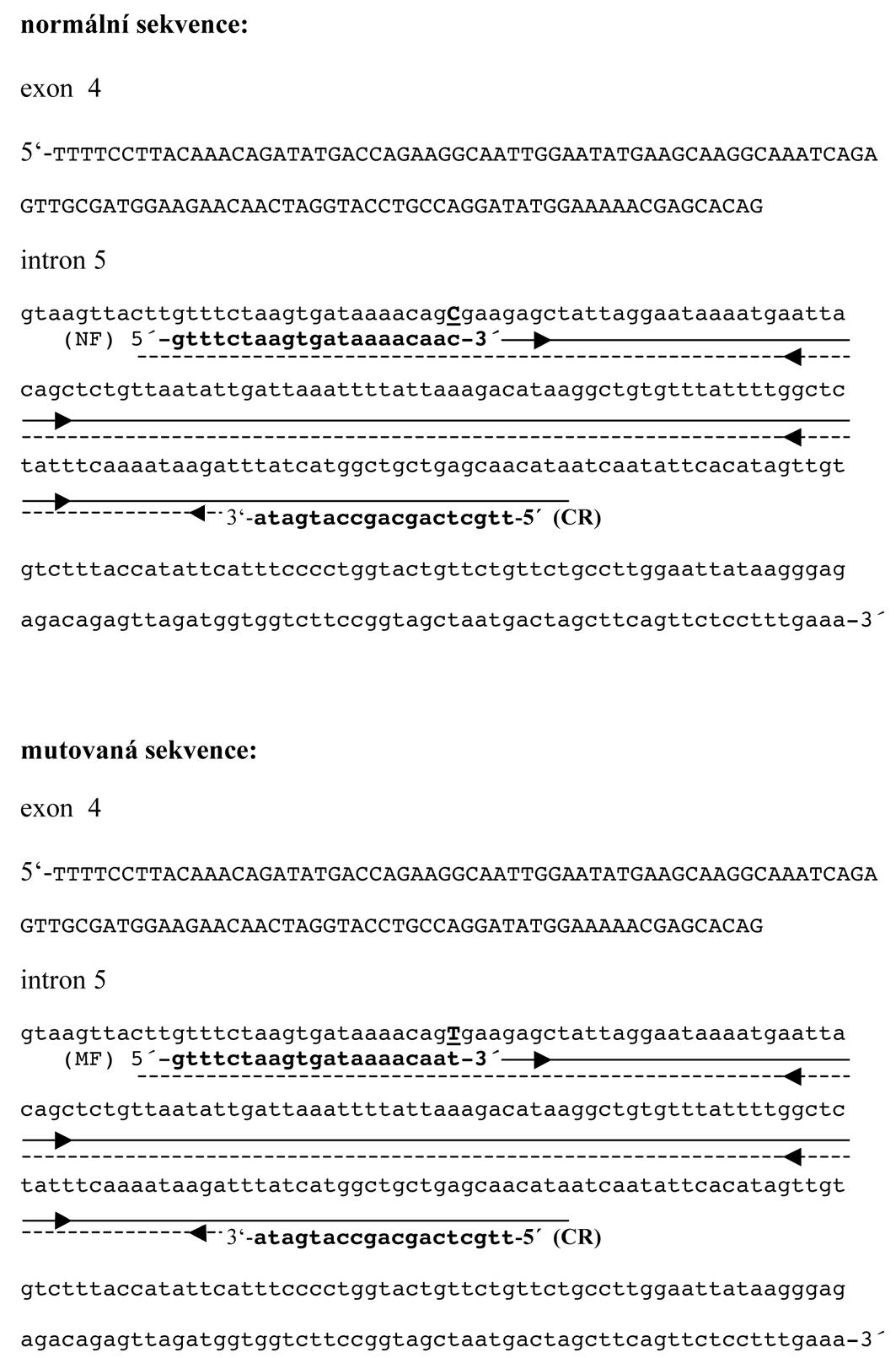 """Substituce c.645+32C>T v intronu 5 genu APC, normální a mutovaná sekvence NF – normální """"forward primer"""", CR – společný """"revers primer"""", MF – mutovaný """"forward primer"""", šipky – směr amplifikace"""