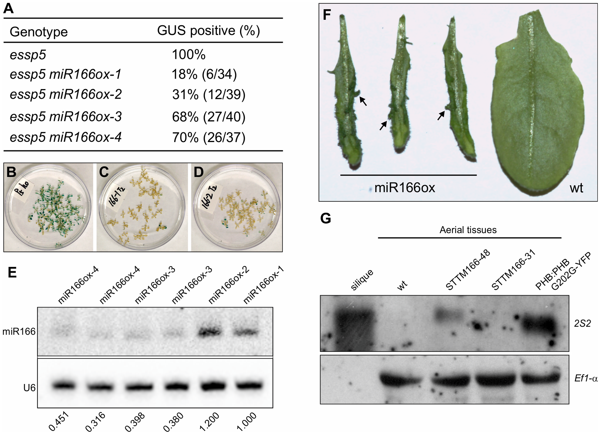 Over-Expression of miRNA166 Rescues the <i>essp5</i> GUS Phenotype, and Loss of miR166 Causes Ectopic Expression of Seed Maturation Genes.