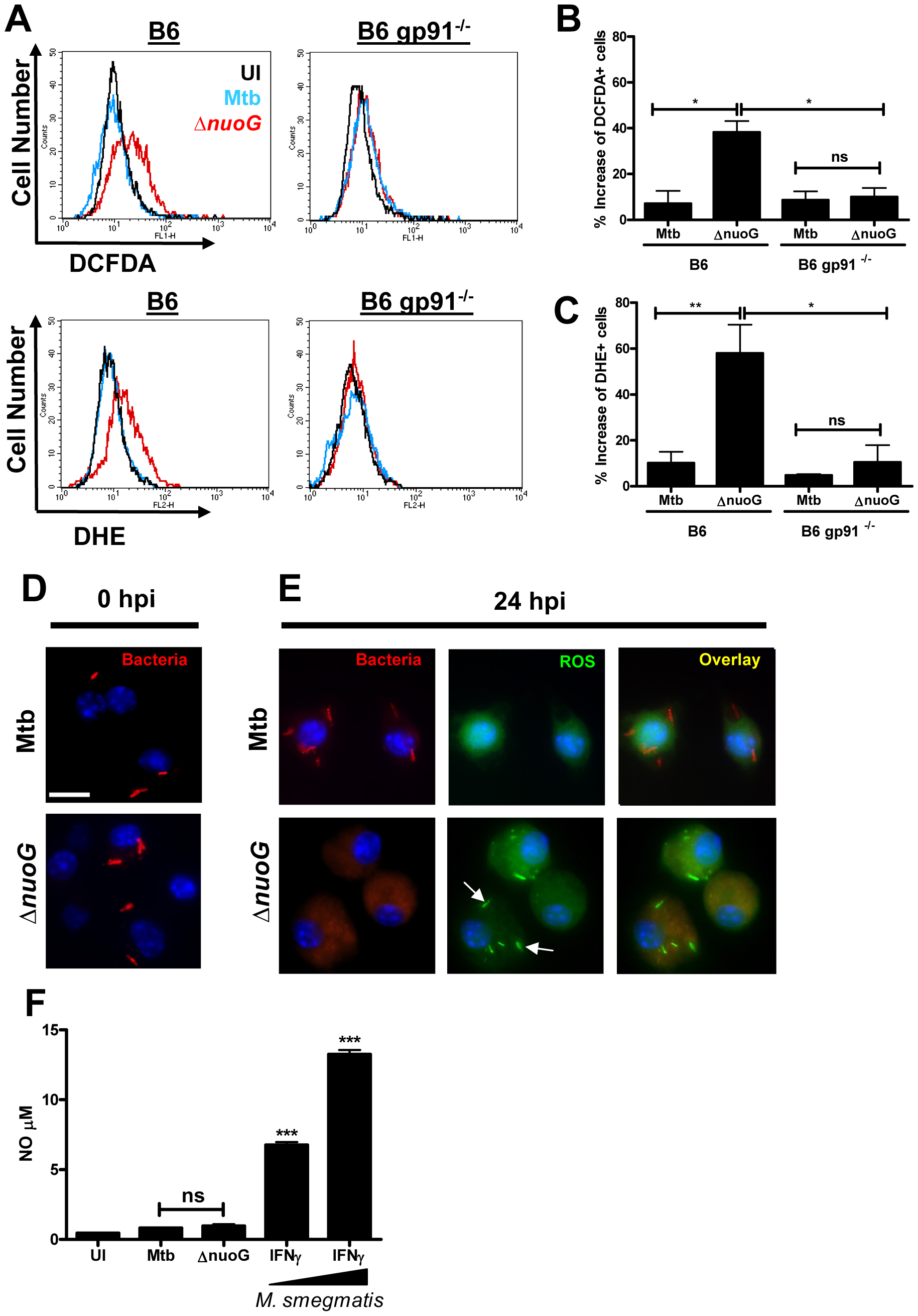 Mtb NuoG mediates inhibition of infection-induced phagosomal ROS production.