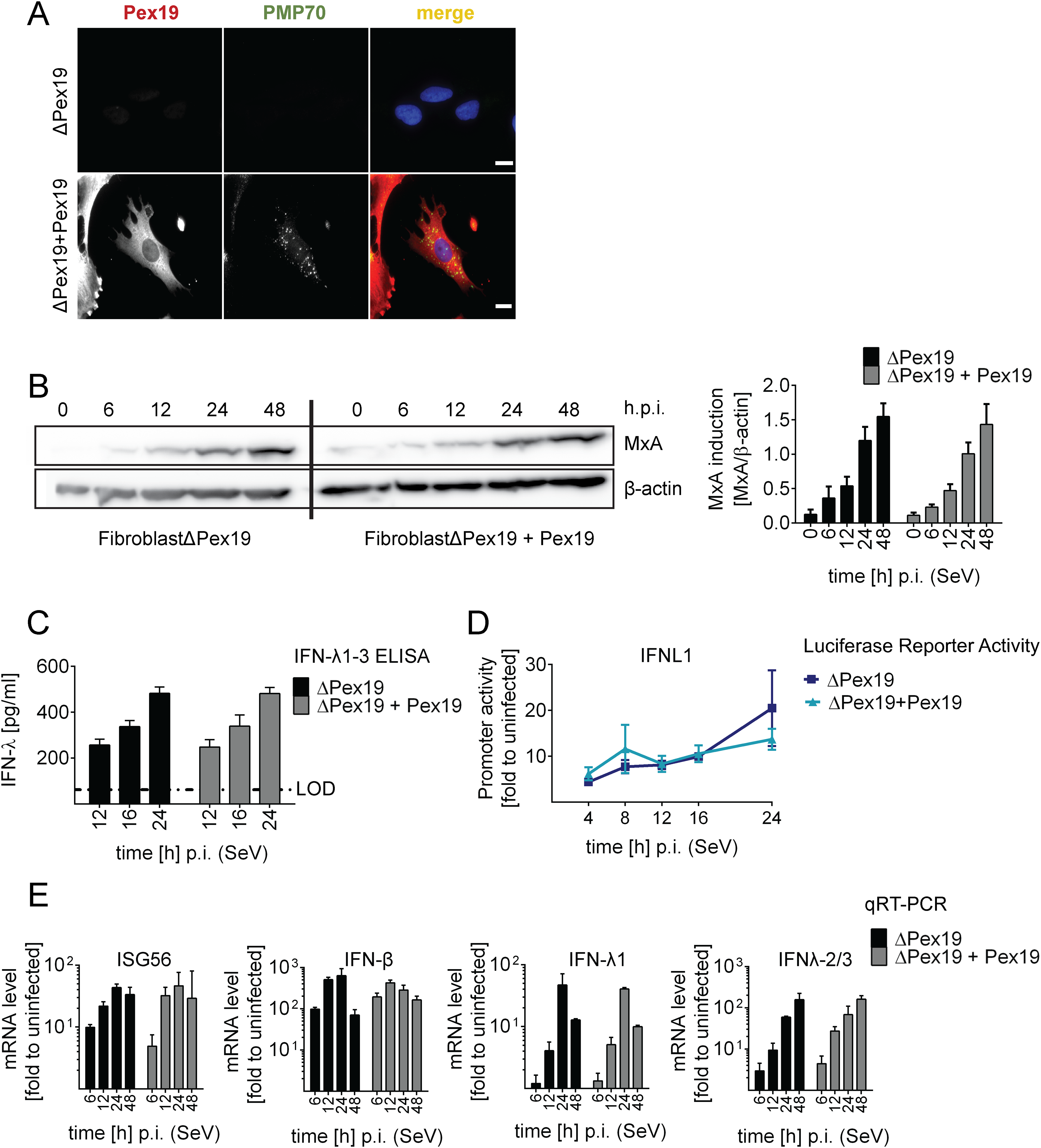 Activation of type I and III IFN response in peroxisome-deficient human cells.