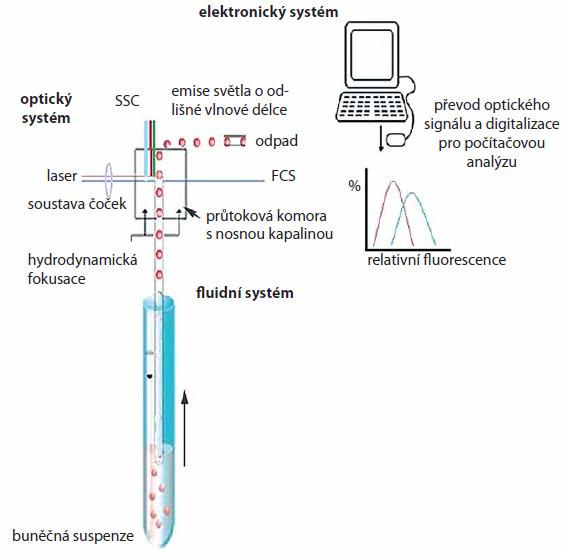Schematické znázornění principu průtokové cytometrie. Průtokový cytometr (fl uidní systém) umožňuje nasávání buněčné suspenze vzorku a její rozdělení do jednotlivých buněk. V optické části jsou buňky ozářeny laserovými paprsky a změny světelných kvant o specifi cké vlnové délce jsou detekovány příslušnými optickými detektory. Světelné signály jsou následně elektronickým systémem převedeny do elektrického signálu a digitalizovány pro počítačovou analýzu.