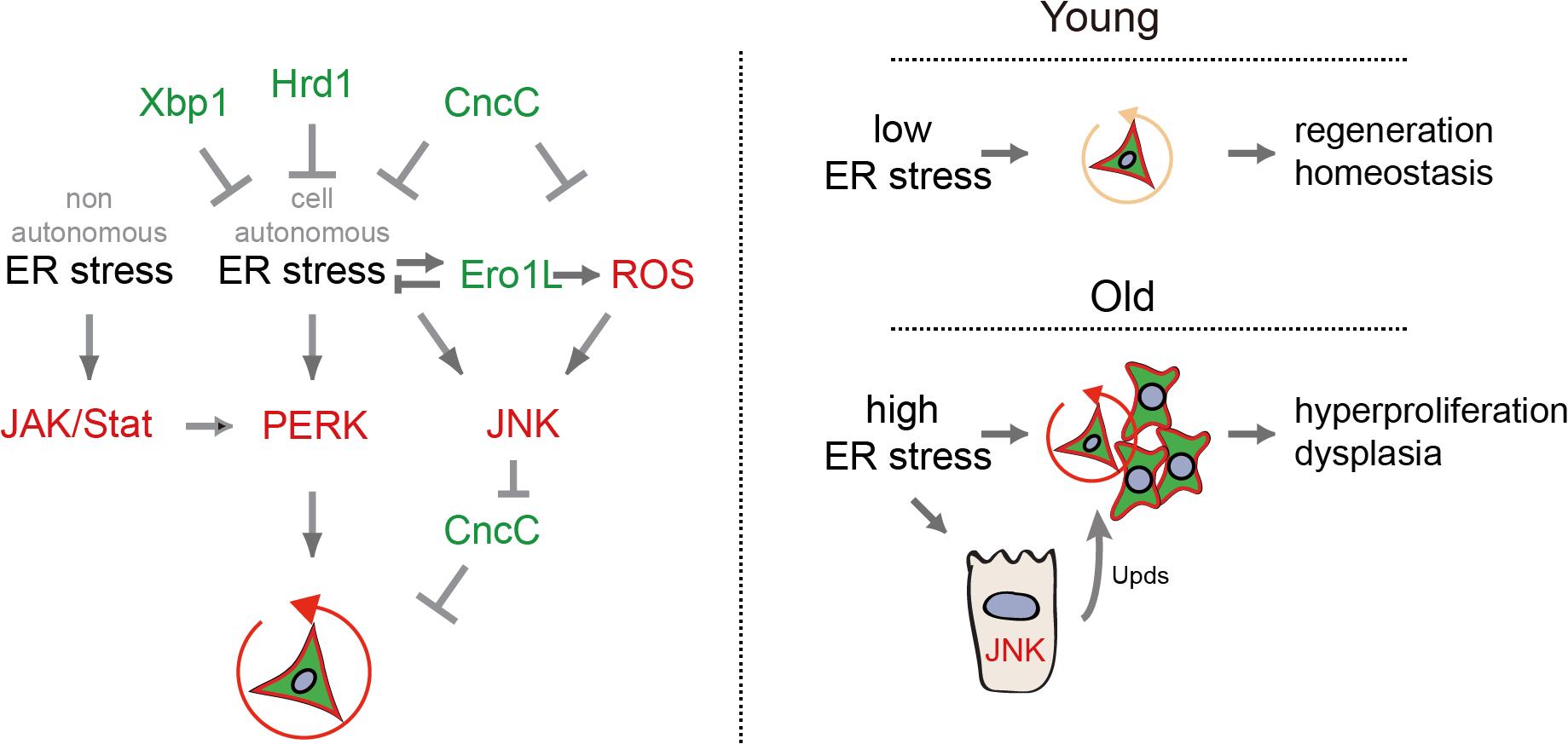 Model of UPR<sup>ER</sup>/ROS signaling network regulating ISC proliferation.