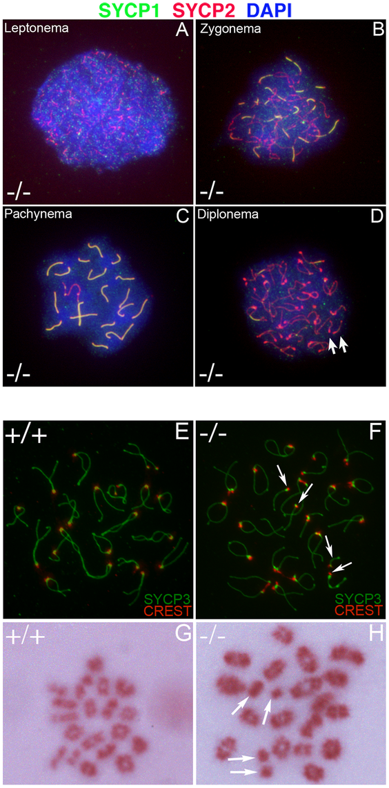 Formation of univalent chromosomes in <i>Chtf18</i><sup>−/−</sup> spermatocytes.