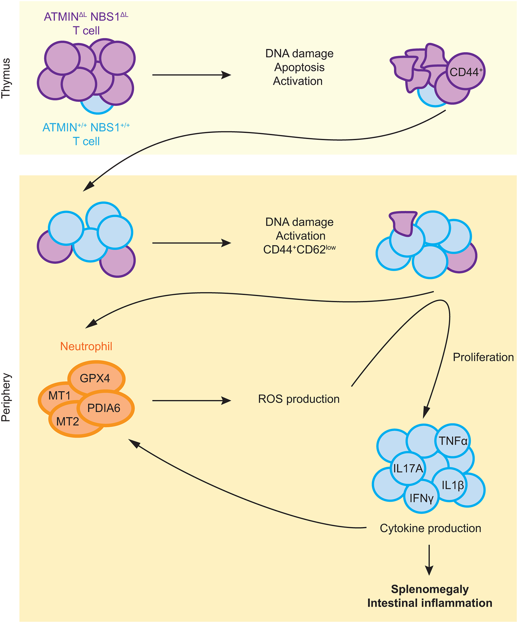 Model for the role of ATMIN and NBS1 in suppressing T cell activation and inflammation.