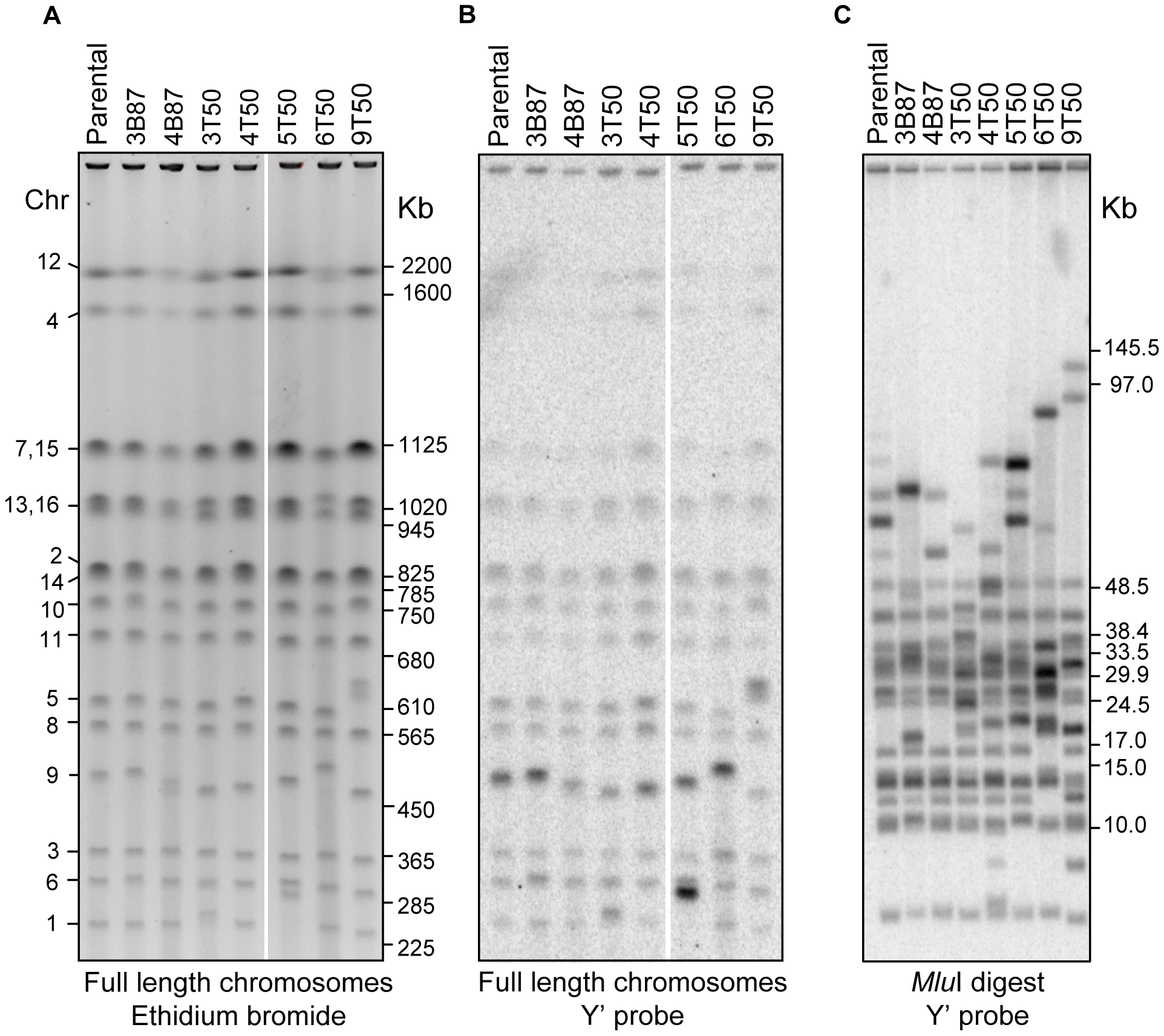 Physical analysis of chromosomes in vegetative and meiotic lines.