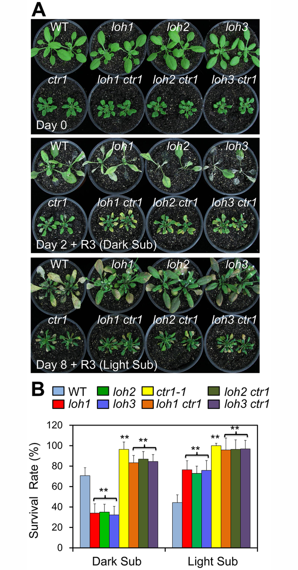 The hypoxia-sensitive phenotypes of <i>loh</i> mutants under dark submergence were rescued by <i>ctr1-1</i>.