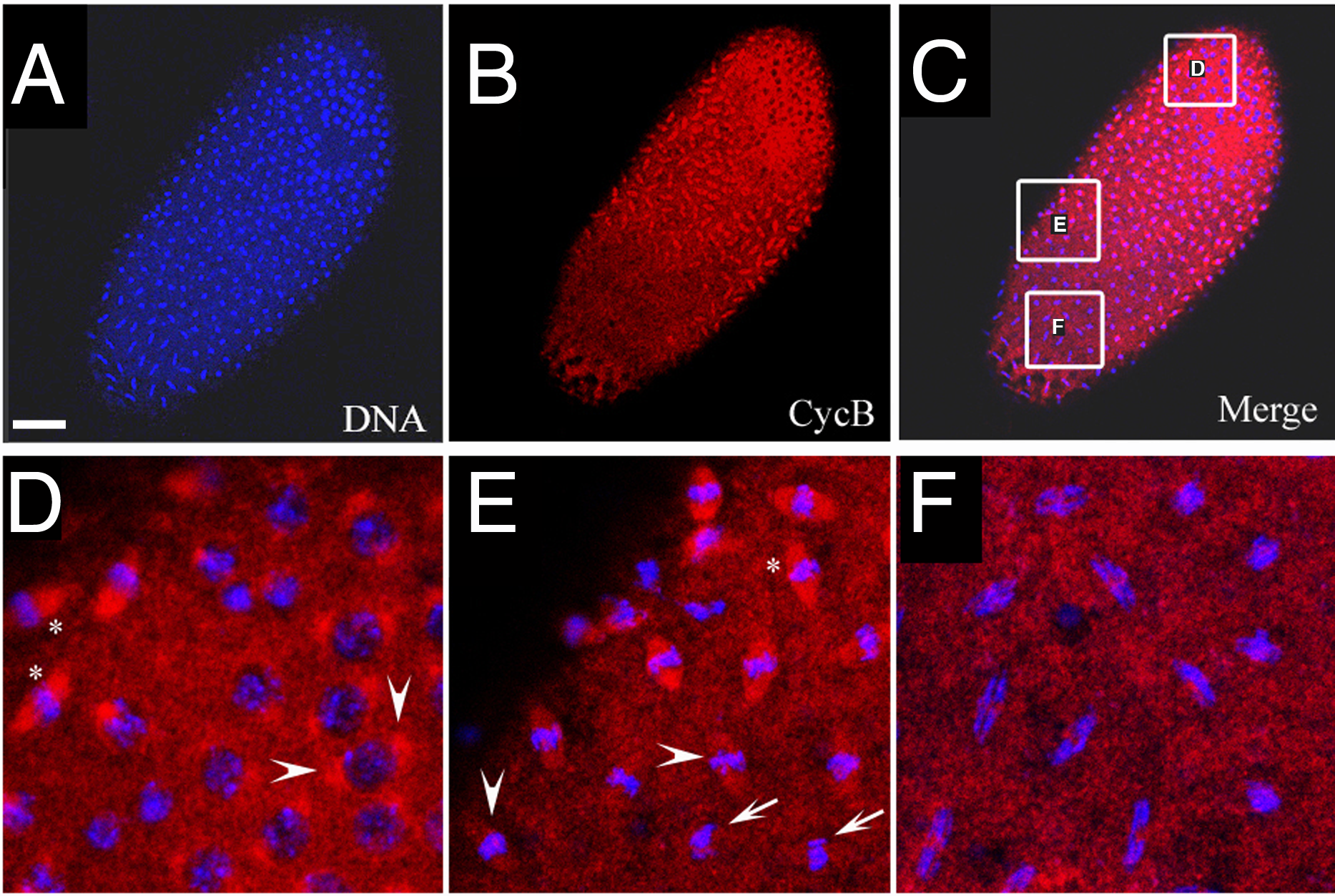 Cyclin B distribution in asynchronous mitoses of <i>xpd<sup>eE</sup></i> embryos.