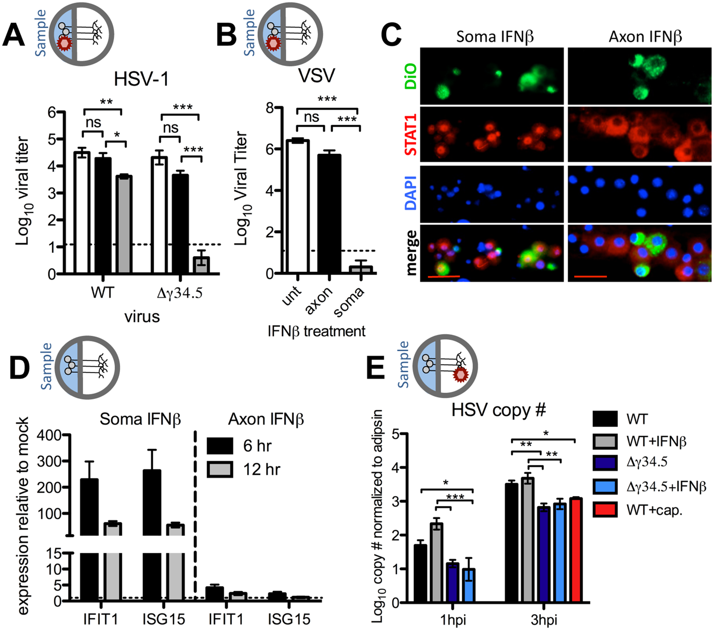 Axonal IFNβ signaling restricts HSV-1 titers through mechanisms independent of establishment of an antiviral state at the soma.