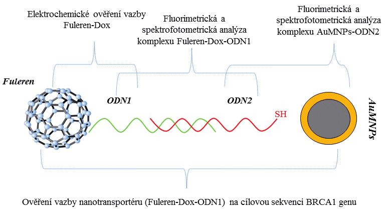 Schéma nanotransportéru testovaného pro jeho schopnost vazby k cílové mutaci genu <i>BRCA1</i> a znázornění jednotlivých analýz pro ověření jeho funkčnosti. Ověření vazby nanotransportéru na cílovou sekvenci BRCA1 genu. Pomocí magnetické zlaté nanočástice byl komplex purifikován od nenavázaných částí.