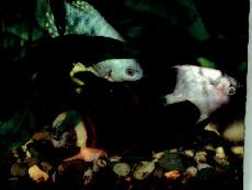 Uhynulá skalára (Pterophyllum scalare) se stala potravou jak pro ostatní chované ryby: čichavce modrého (Trichogaster trichopterus sumatranus) a sumečka přísavného (Ancystrus sp.), tak pro ampulárii australskou (Ampullaria australis). U všech těchto živočichů bylo následně prokázané M. marinum (foto I. Pavlík).