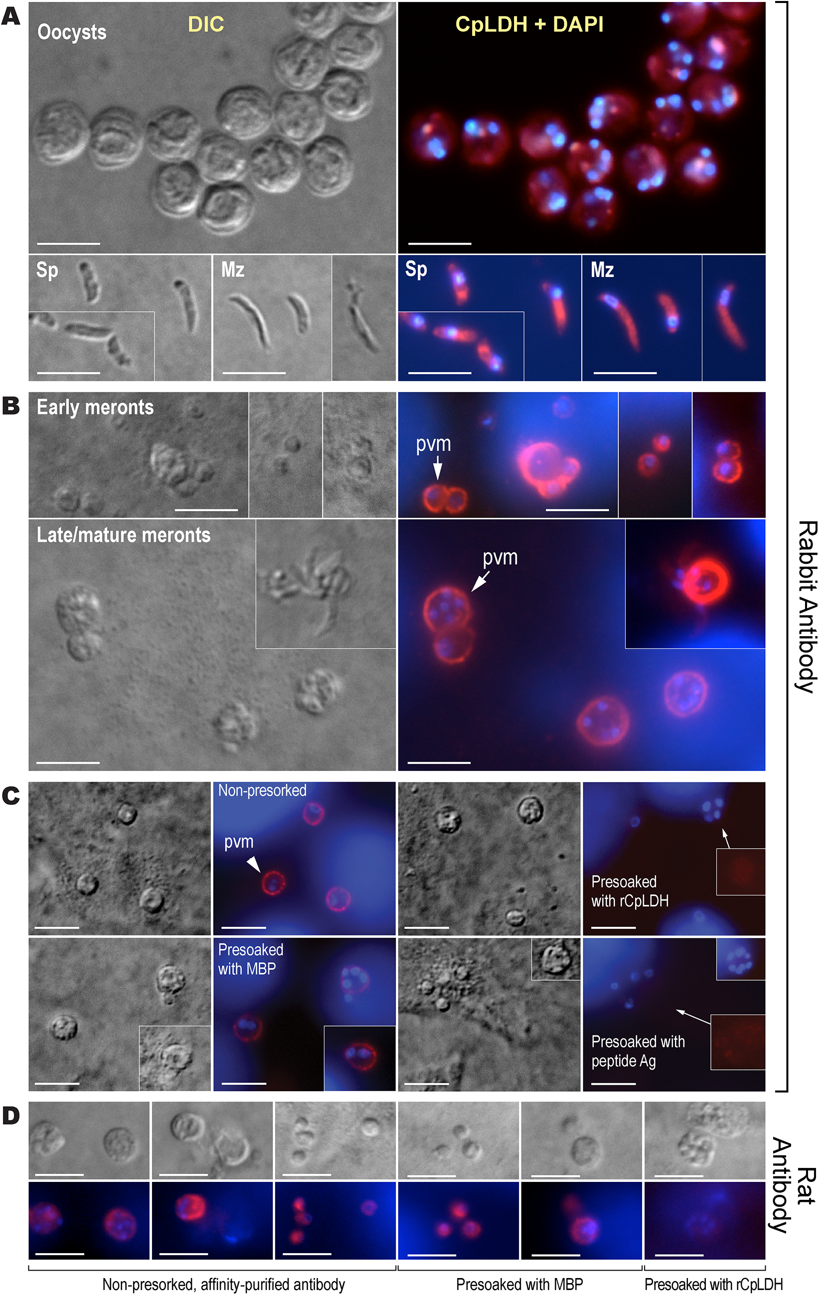 Immunofluorescence microscopic detection of CpLDH in different <i>C</i>. <i>parvum</i> life cycle stages.