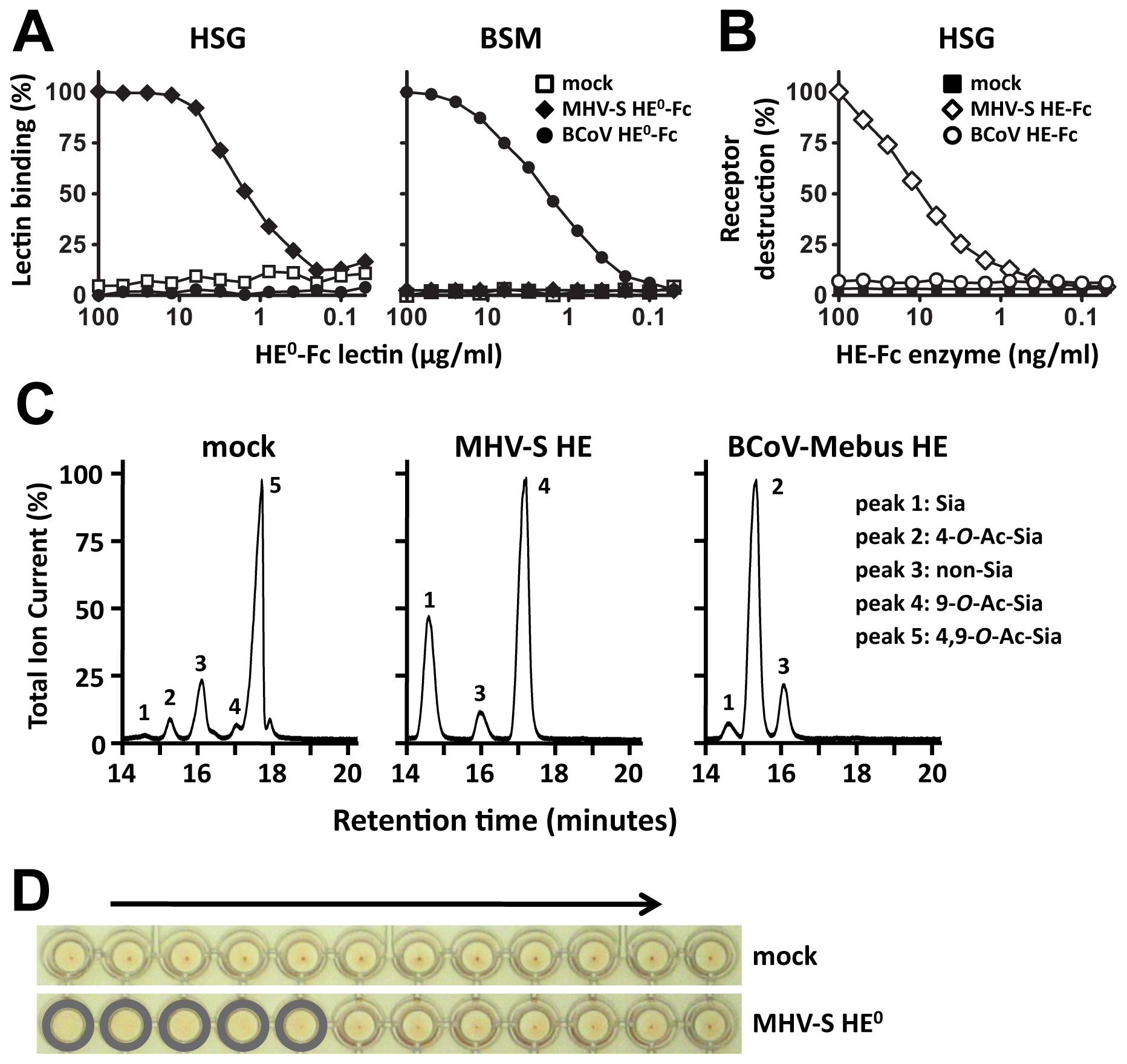 HE-Fc fusion protein displays proper receptor-binding and enzymatic activities.