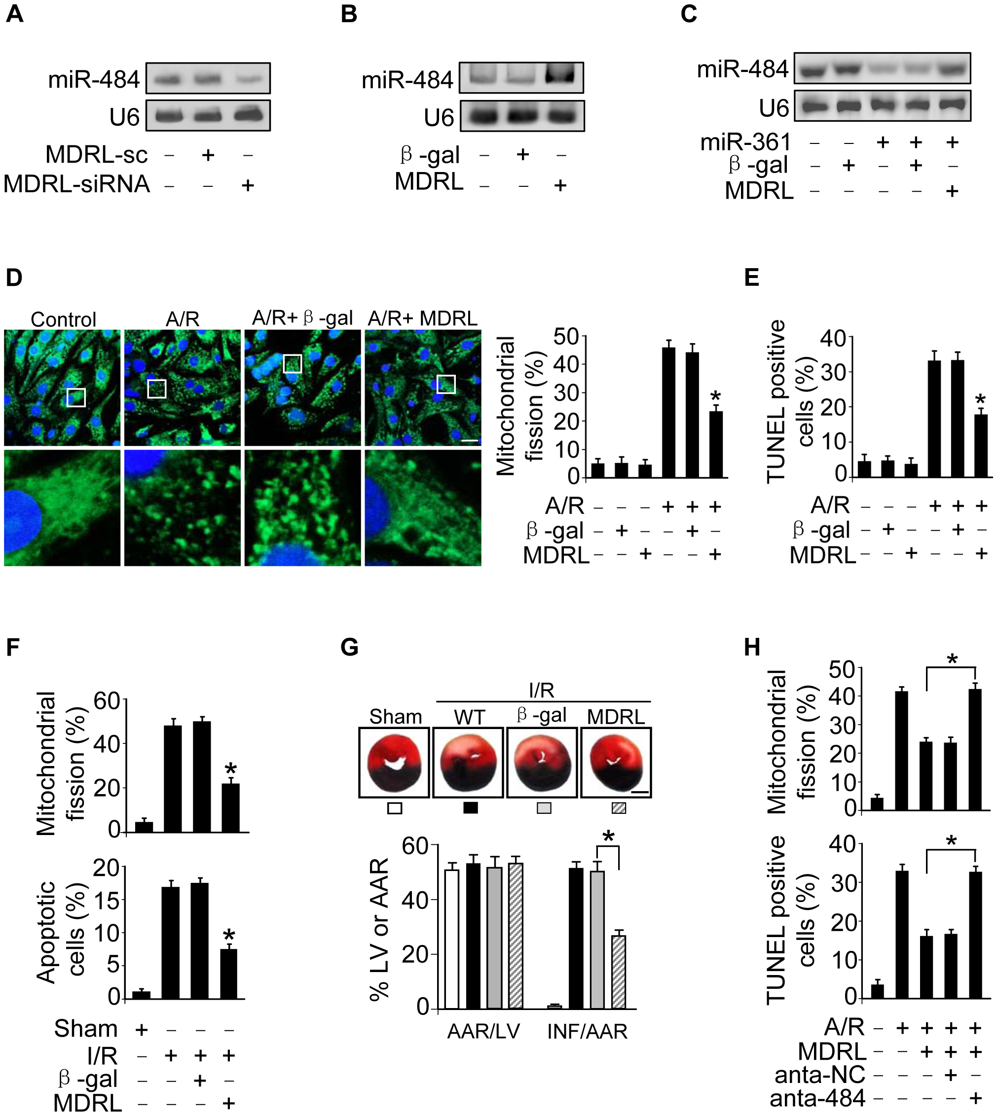 MDRL regulates mitochondrial fission and apoptosis through targeting miR-361 and miR-484.