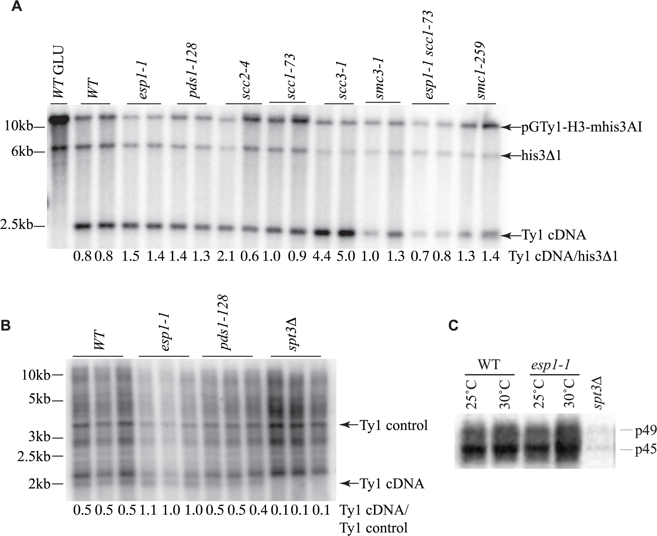 Ty1 cDNA levels are not affected in <i>esp1</i> and <i>pds1</i> mutants.