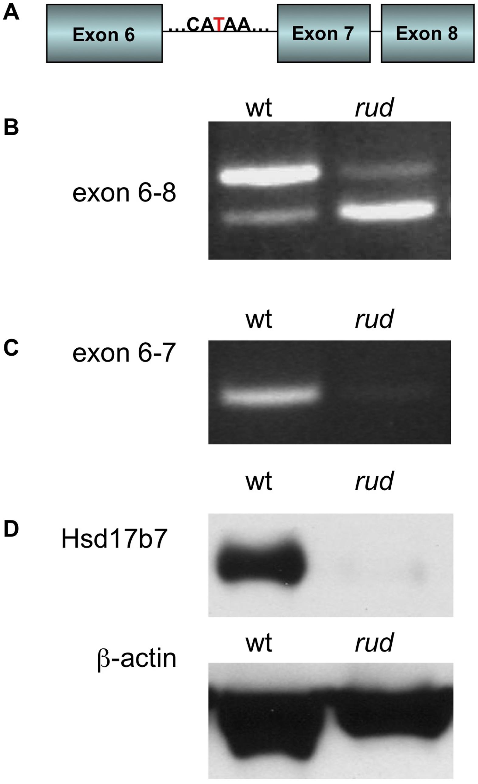 <i>Hsd17b7</i> is the gene carrying the <i>rudolph</i> mutation.