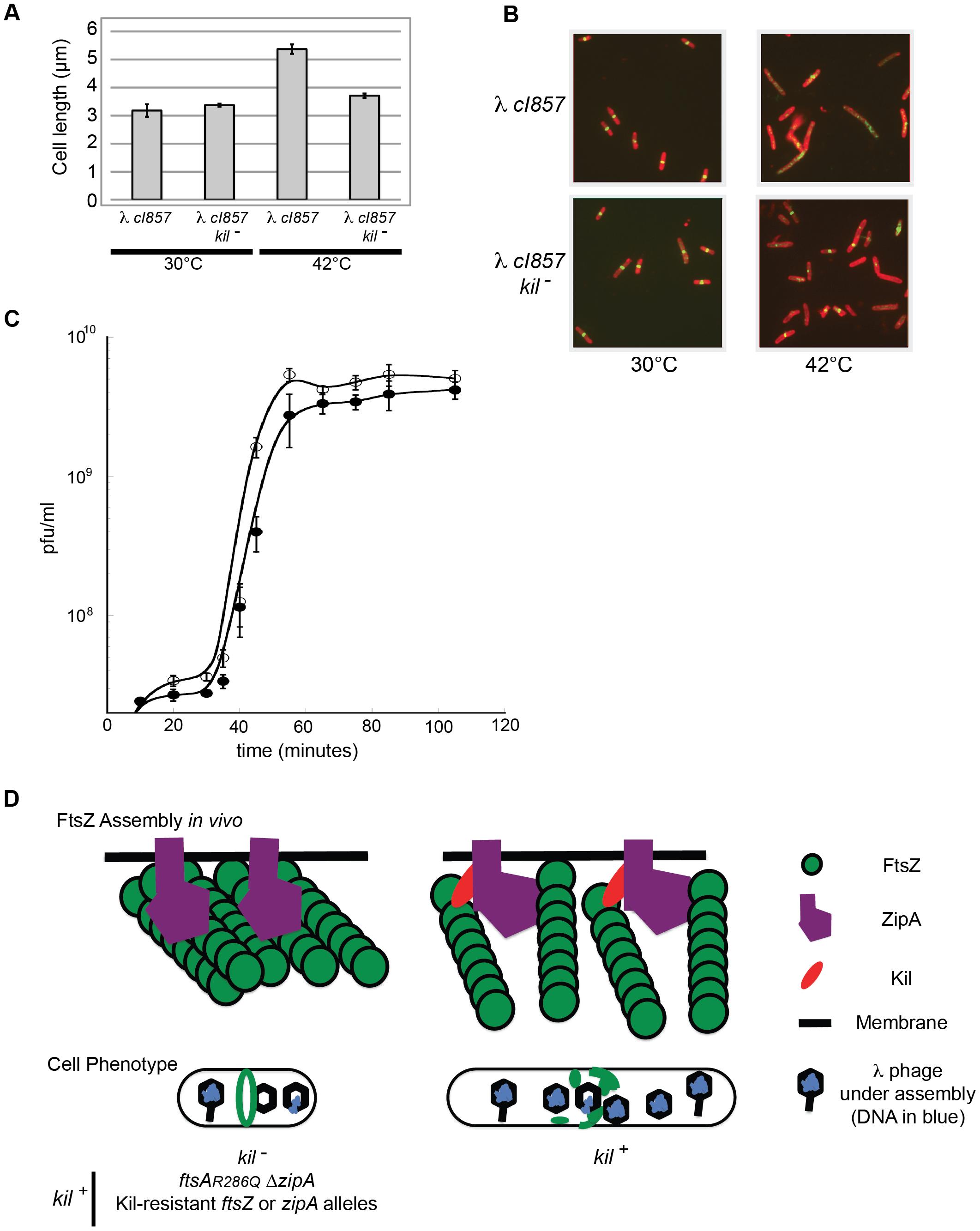 λ lysogen induction inhibits host cell division in a <i>kil</i>-dependent manner.