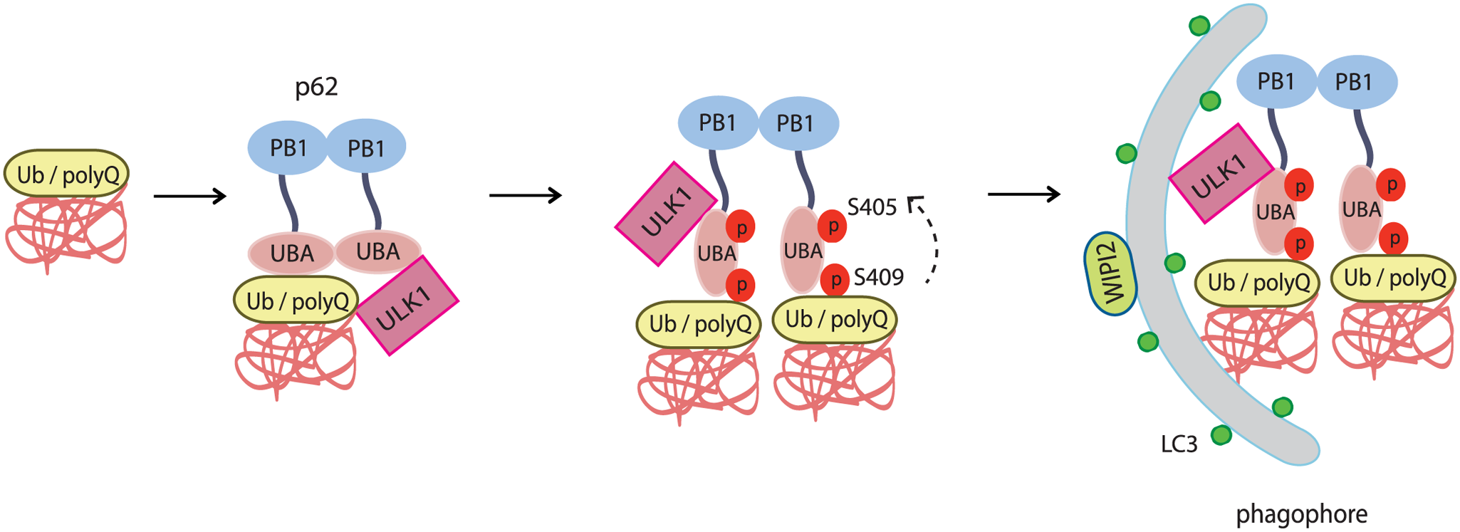 The working model for ULK1-mediated p-S409 and p-S405 of p62 in selective degradation of ubiquitinated proteins and polyglutamine-expanded proteins.
