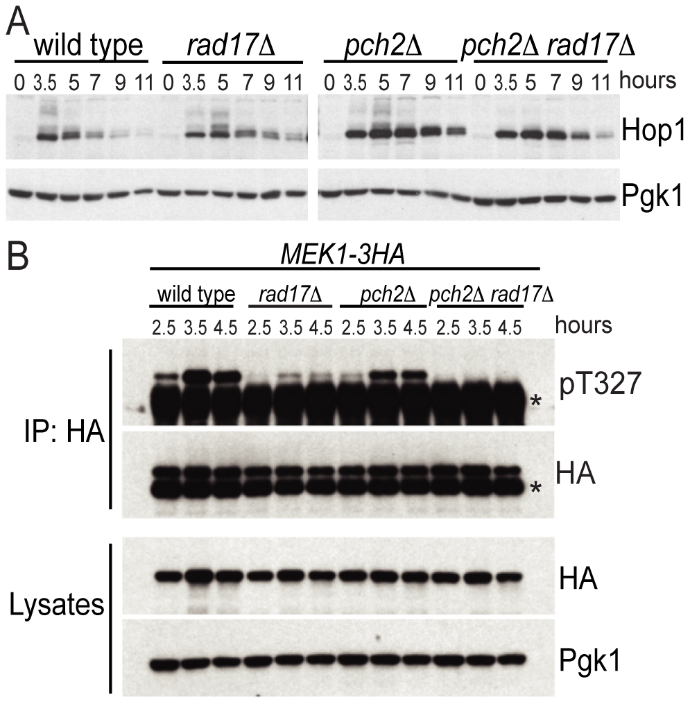 Pch2 and Rad17 promote Hop1 and Mek1 activation.