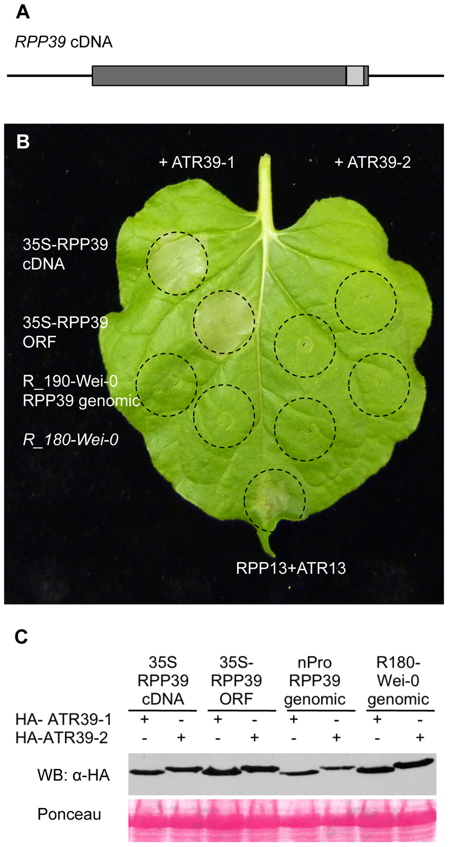 <i>RPP39</i> cDNA triggers ATR39-1–dependent HR in transient expression assays in <i>Nicotiana benthamiana</i>.