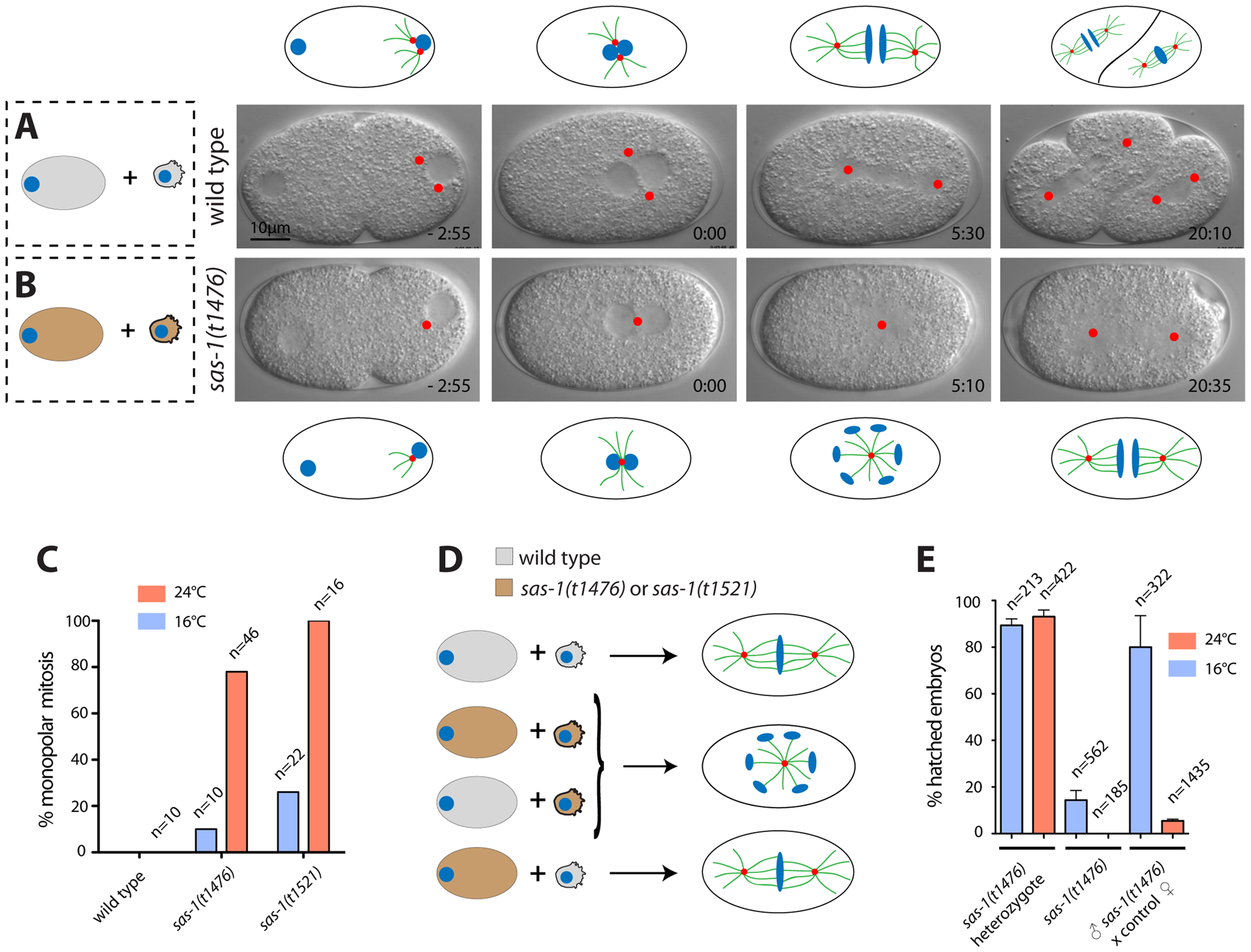 <i>sas-1</i> is a paternal-effect mutation required for bipolar spindle assembly in the embryo.