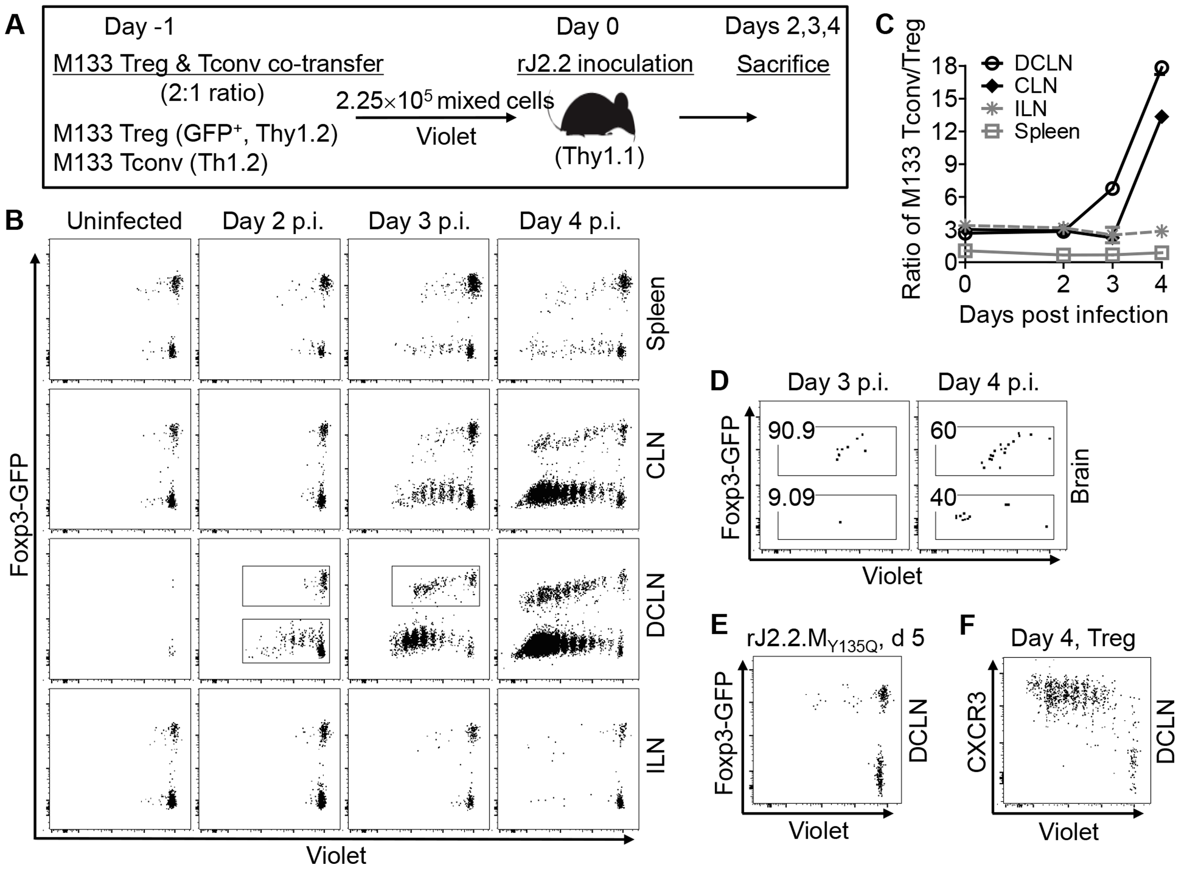 Initial proliferation of M133 Tregs in the DCLN is delayed compared to M133 Tconv.