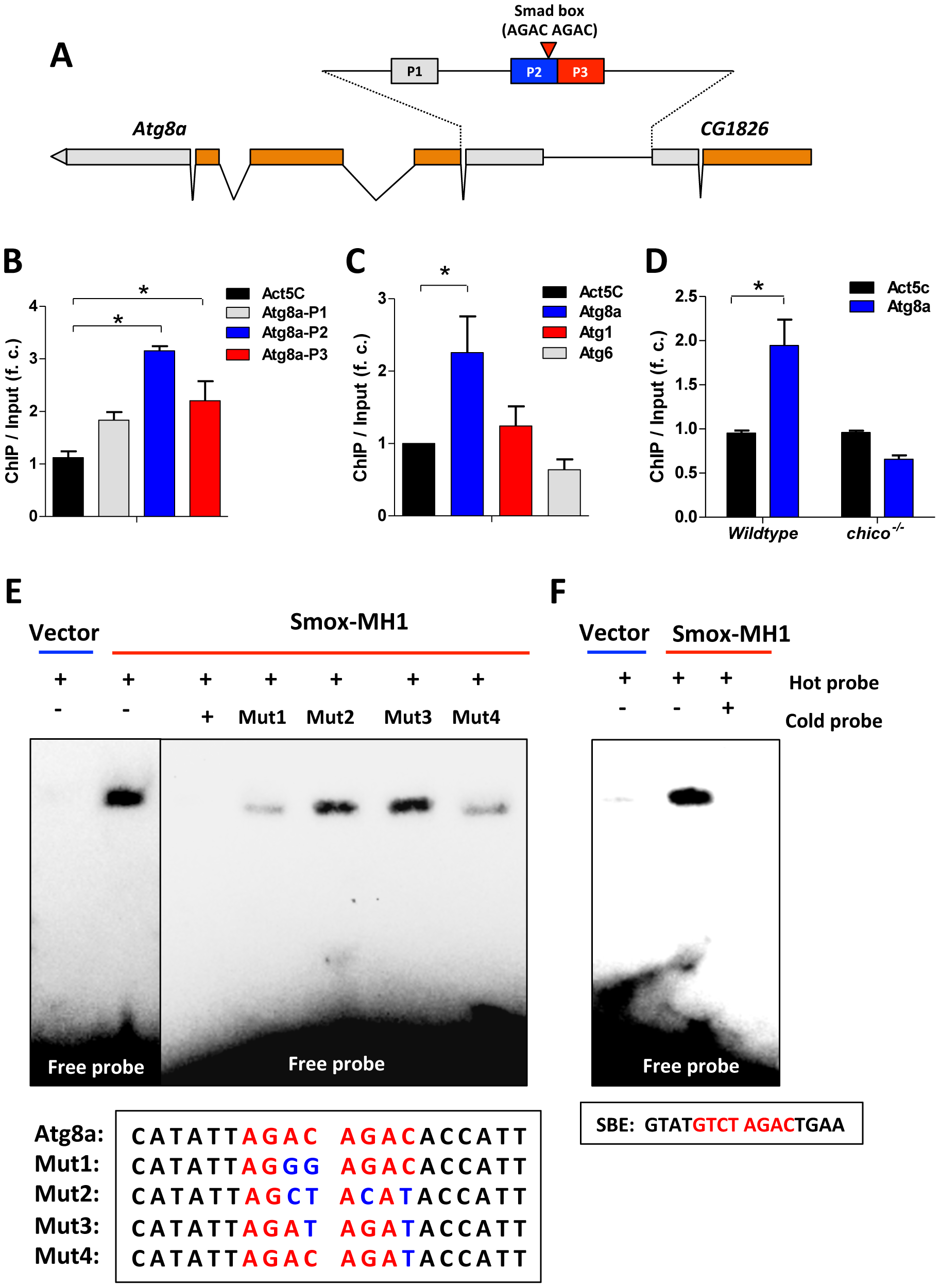 Activin signaling represses autophagy via transcriptional regulation on Atg8a.