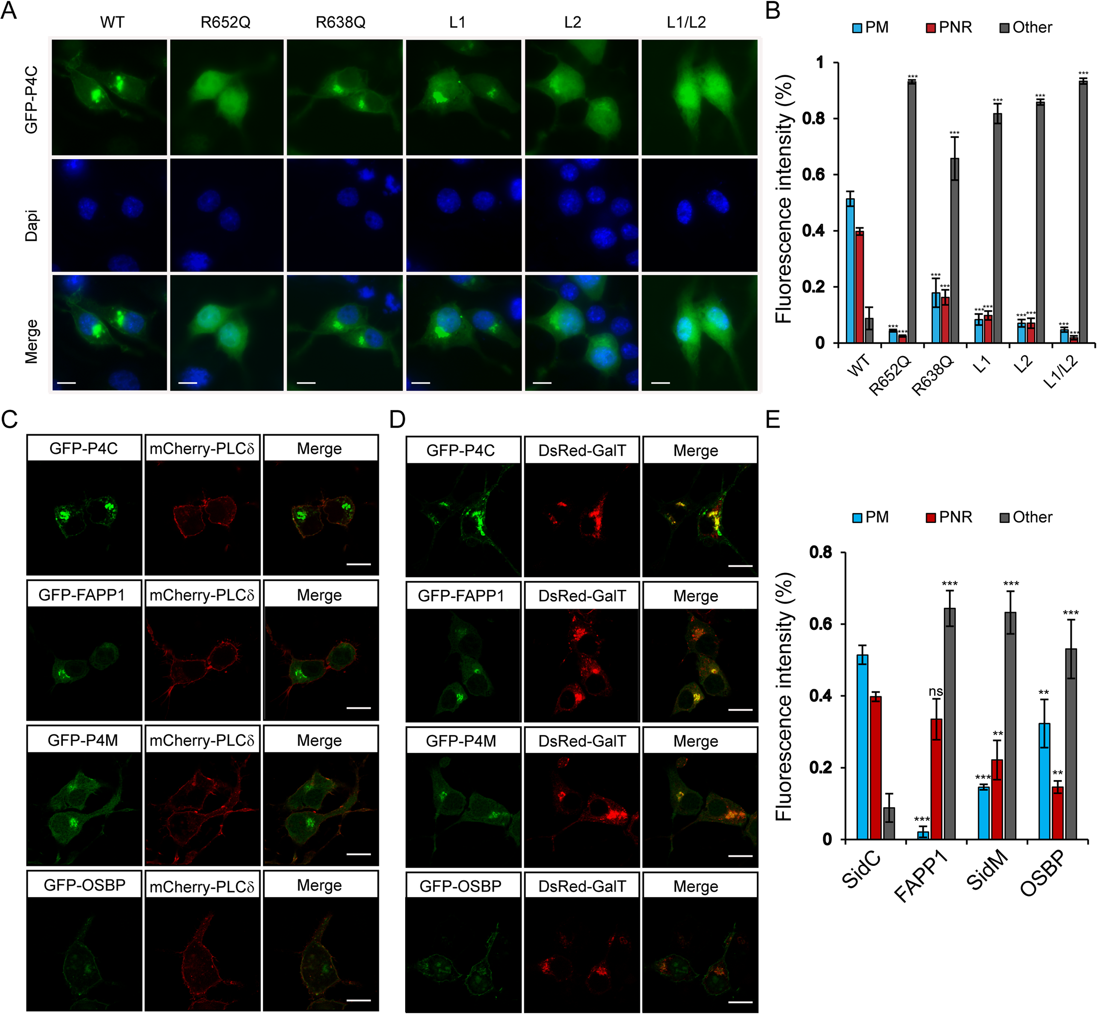 Intracellular localization of fluorescent protein fusions of the P4C domain from SidC.