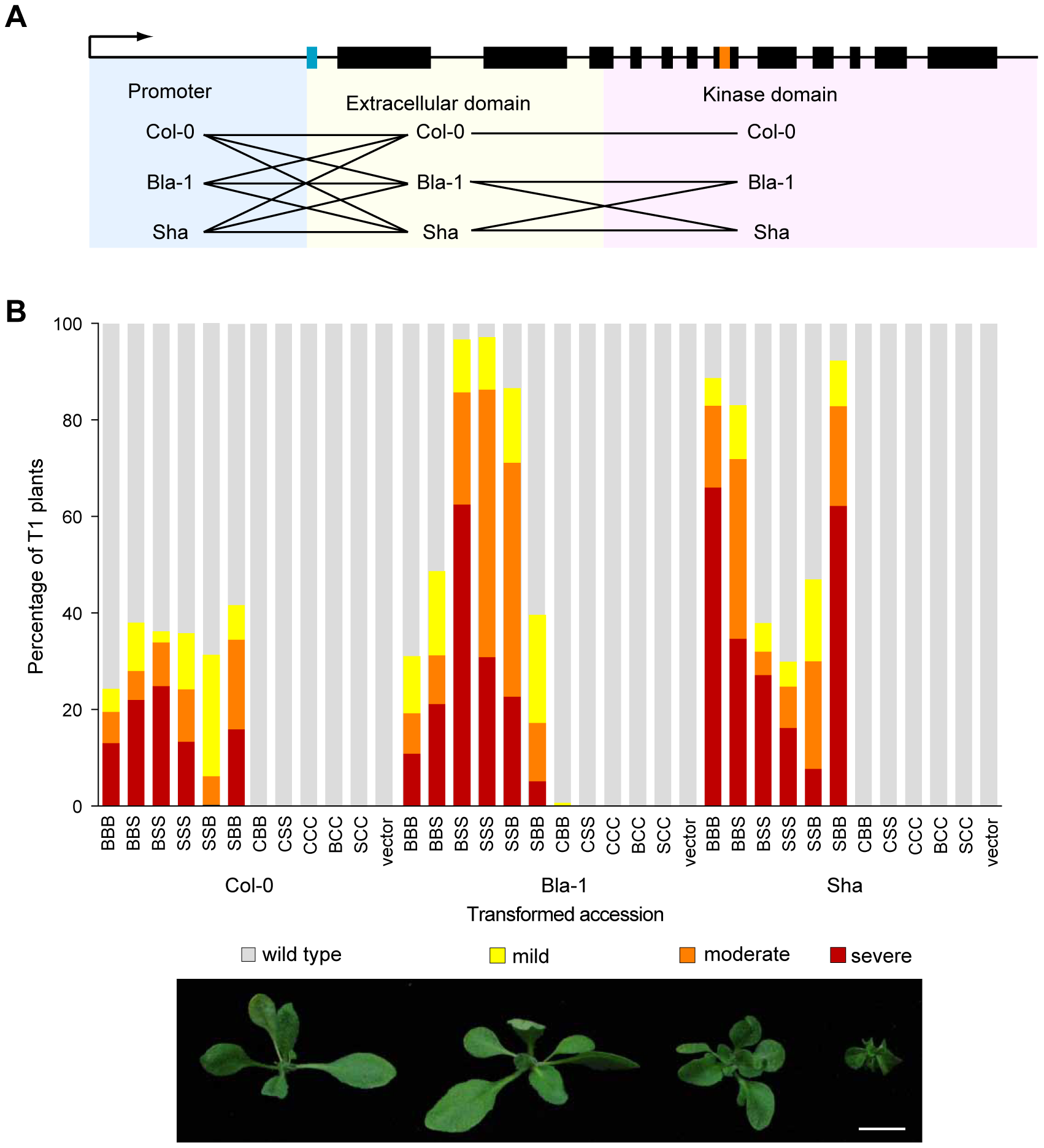 Contribution of both the <i>OAK</i> promoter and extracellular domain to outgrowths.