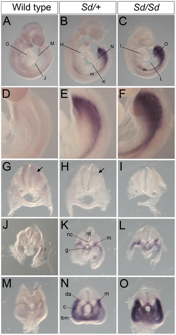 Ectopic expression of <i>Ptf1a</i> in <i>Sd/+</i> and <i>Sd/Sd</i> embryos at E9.5.