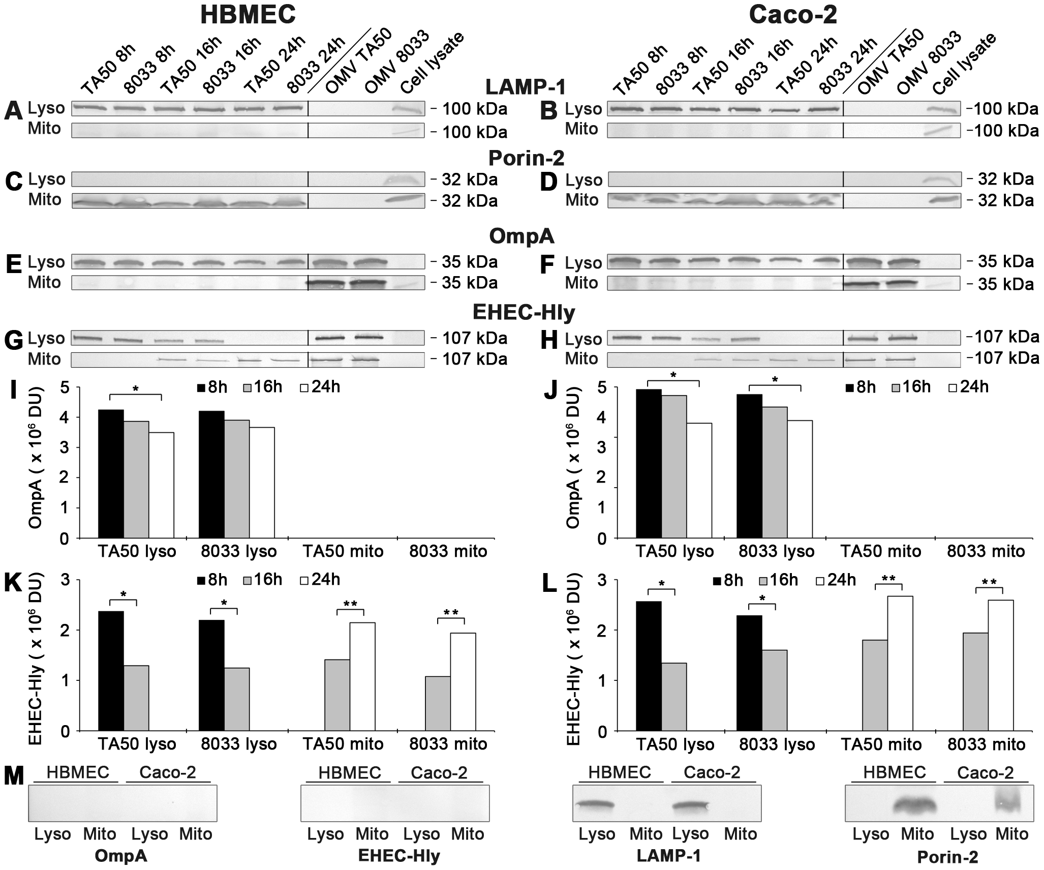 Detection of OMVs and EHEC-Hly in lysosomal and mitochondrial fractions of cells treated with EHEC-Hly-containing OMVs.