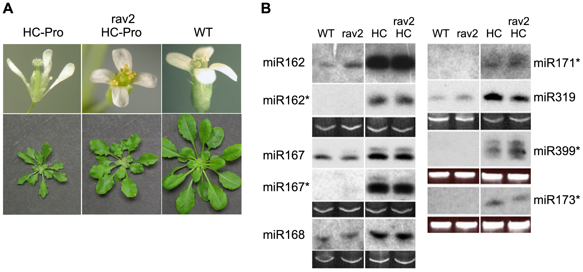 RAV2 is Required for Many HC-Pro-associated Morphological Anomalies but not for Defects in MicroRNA Biogenesis.