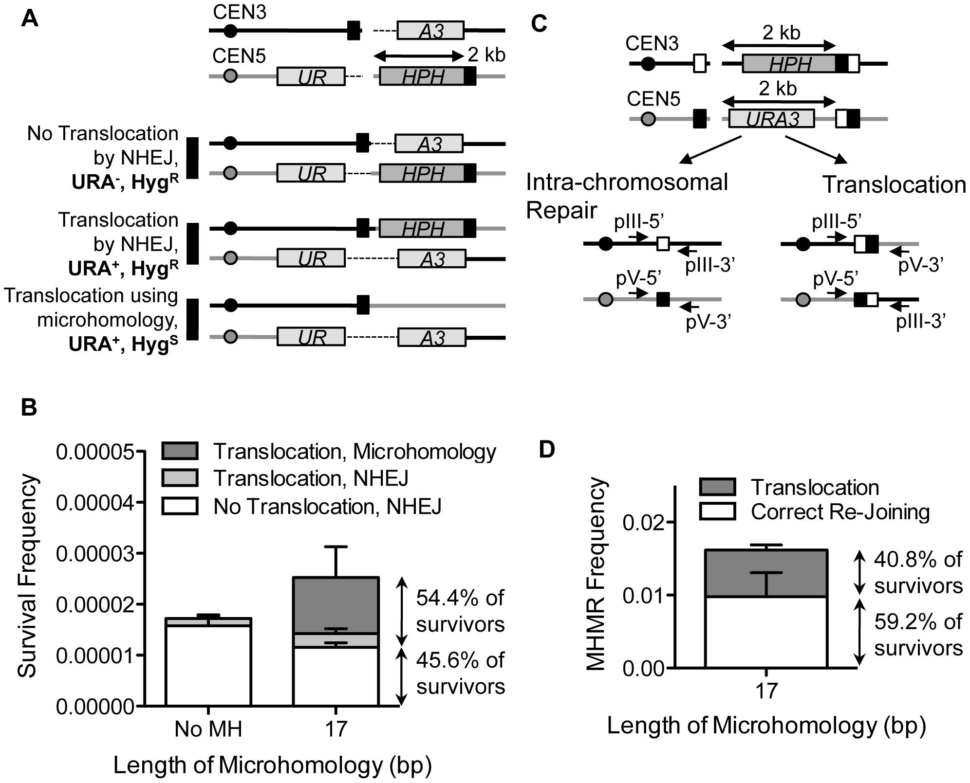 MHMR stimulates HO break-induced chromosomal translocations.
