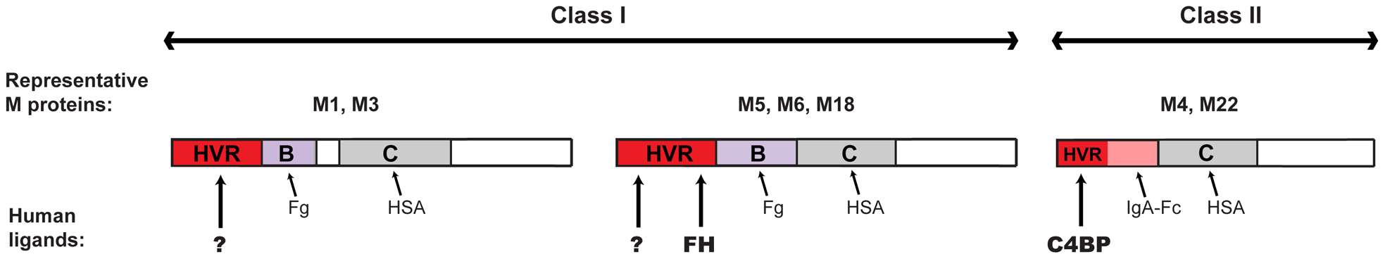 Binding of human proteins to M proteins, with focus on the HVR.