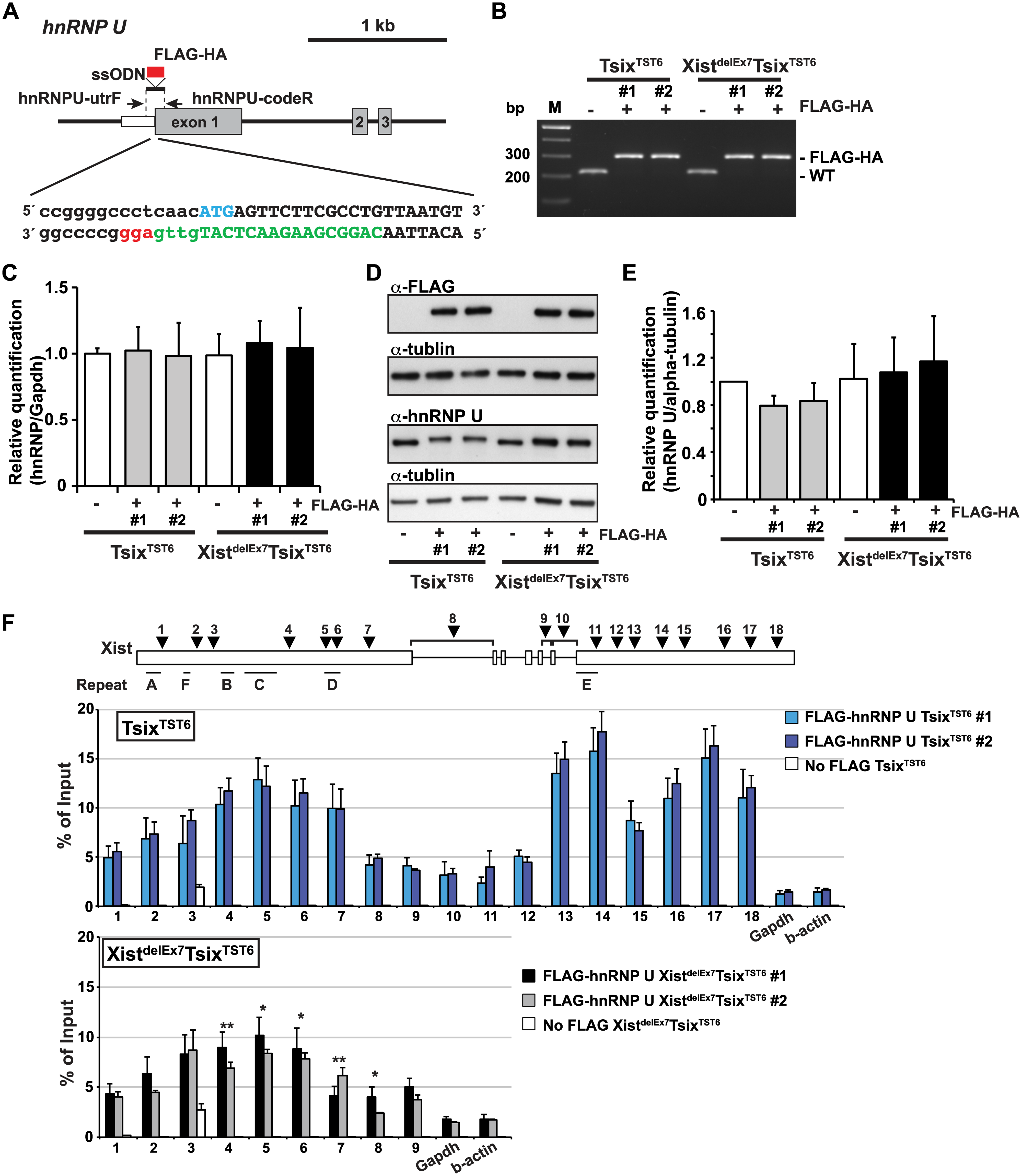 The exon 7 truncation in Xist RNA impairs the interaction between hnRNP U and Xist RNA.