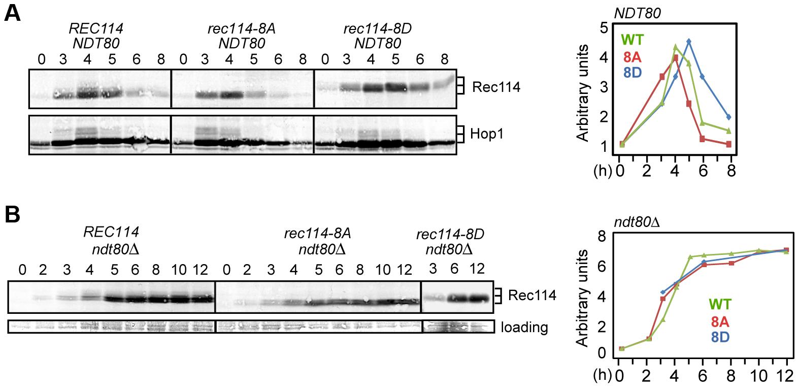 Rec114 phosphorylation delays its <i>NDT80</i>-dependent turnover.