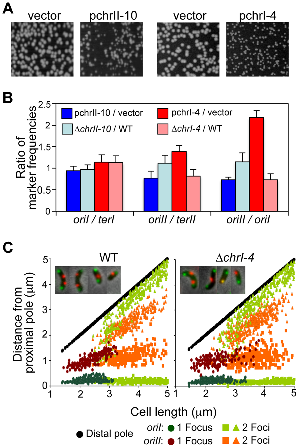 The newly identified RctB binding sites affect <i>V. cholerae</i> growth and chromosomal replication.