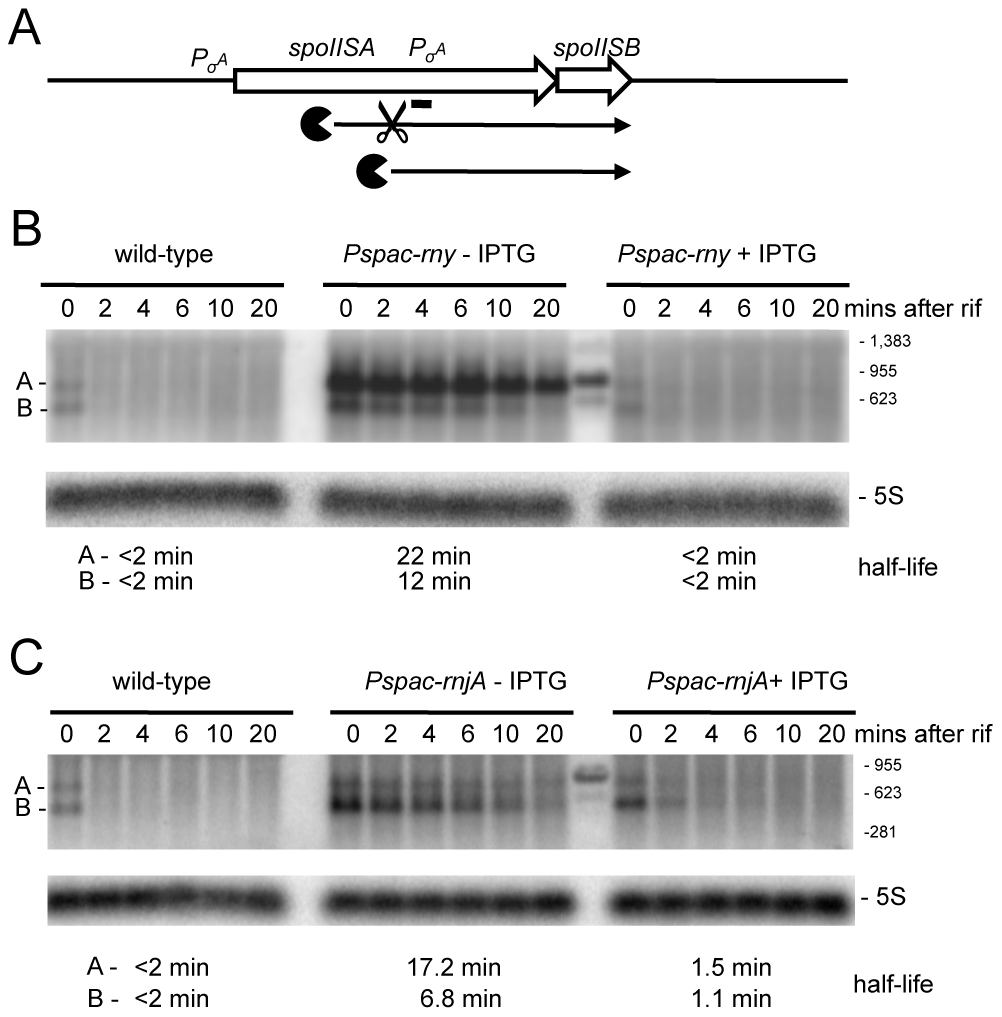 Degradation of the <i>spoIISAB</i> mRNA depends on both RNase Y and J1.