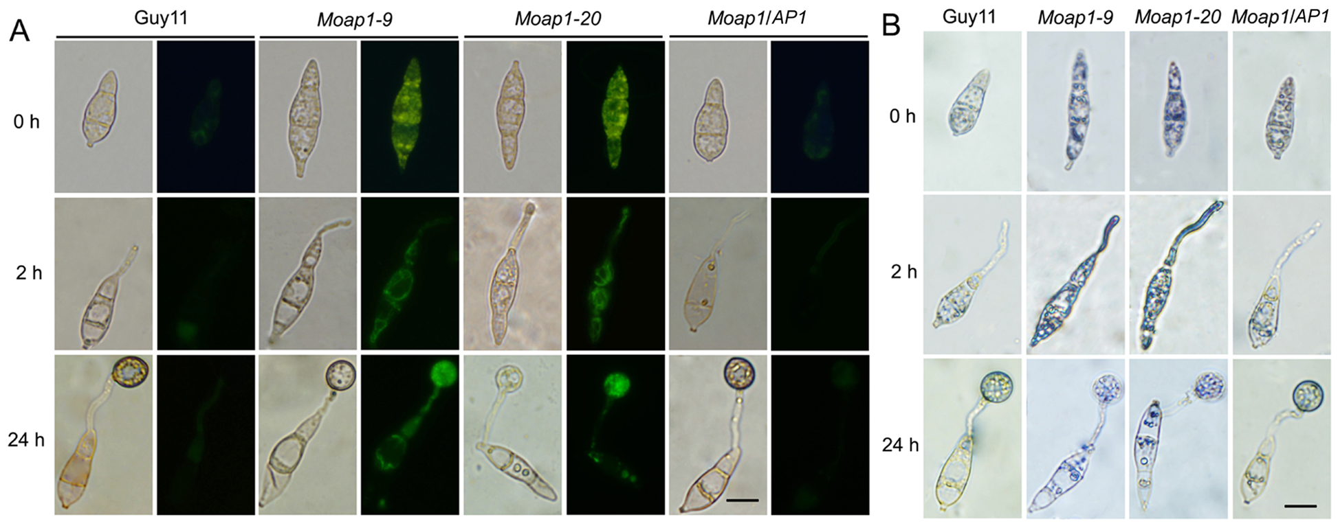 The ROS accumulation is compromised in the <i>Moap1</i> mutant during infection.