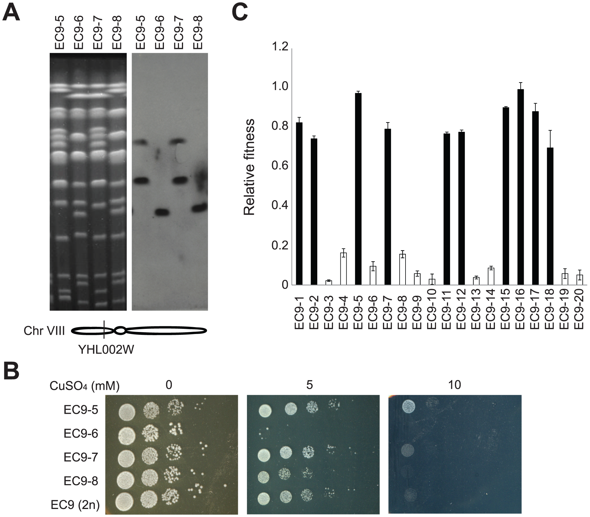 Haploid segregants of EC9 carrying rearranged chromosomes are more tolerant to copper.