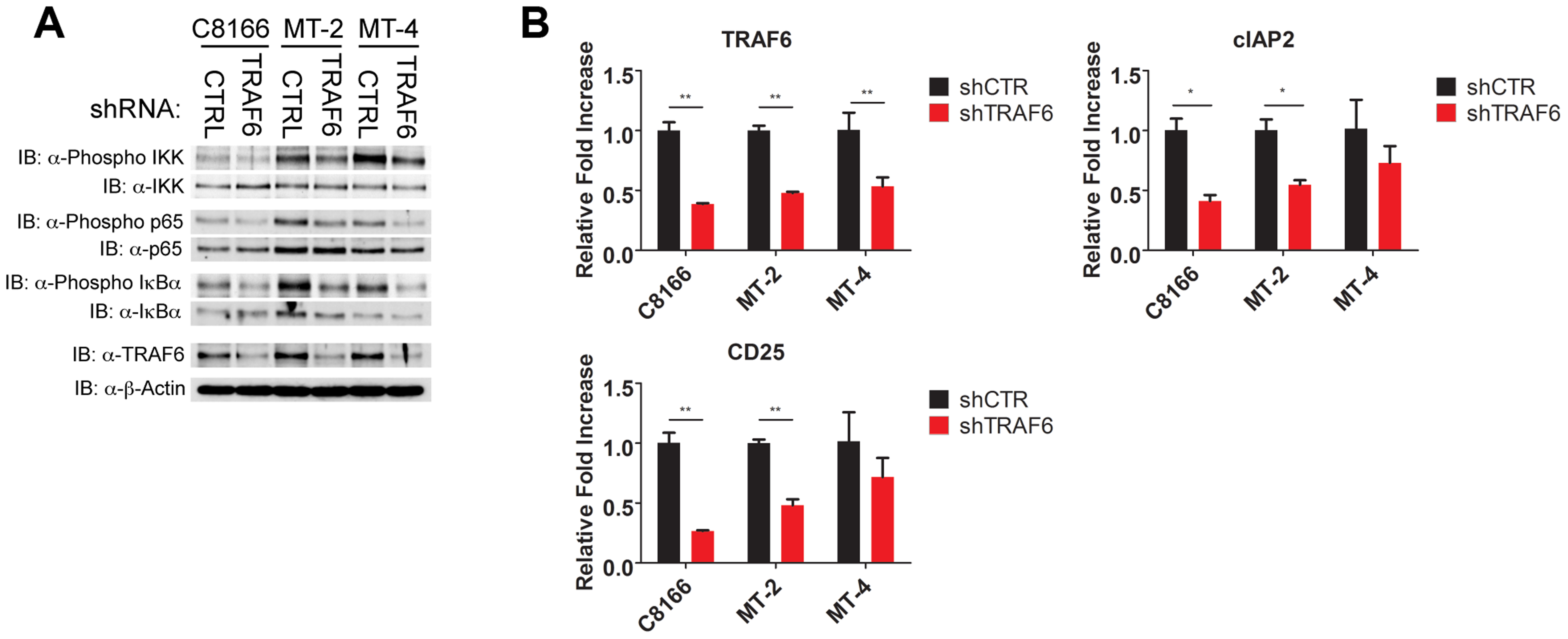 TRAF6 is required for NF-κB activation in HTLV-1 transformed T cells.