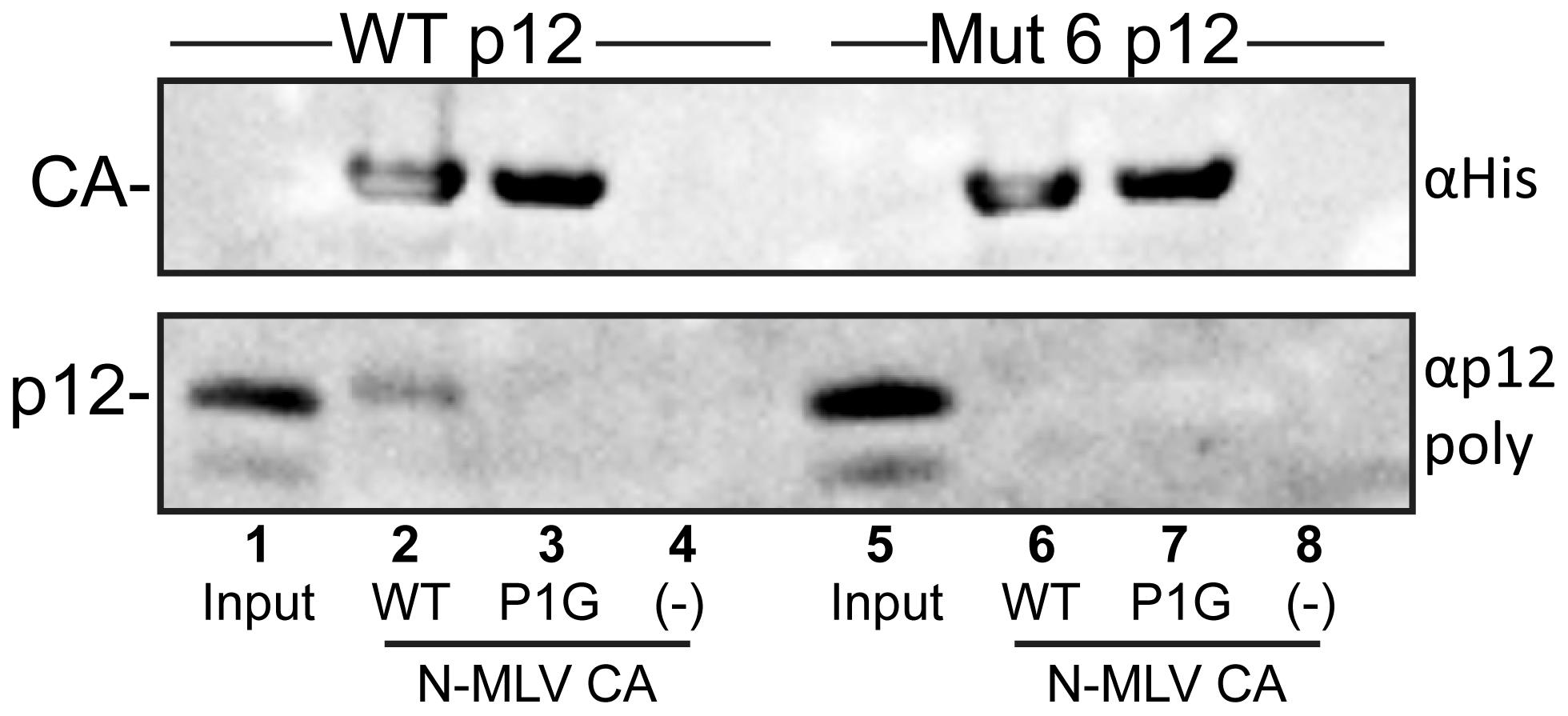Binding of purified p12 to N-MLV CA-coated lipid nanotubes.