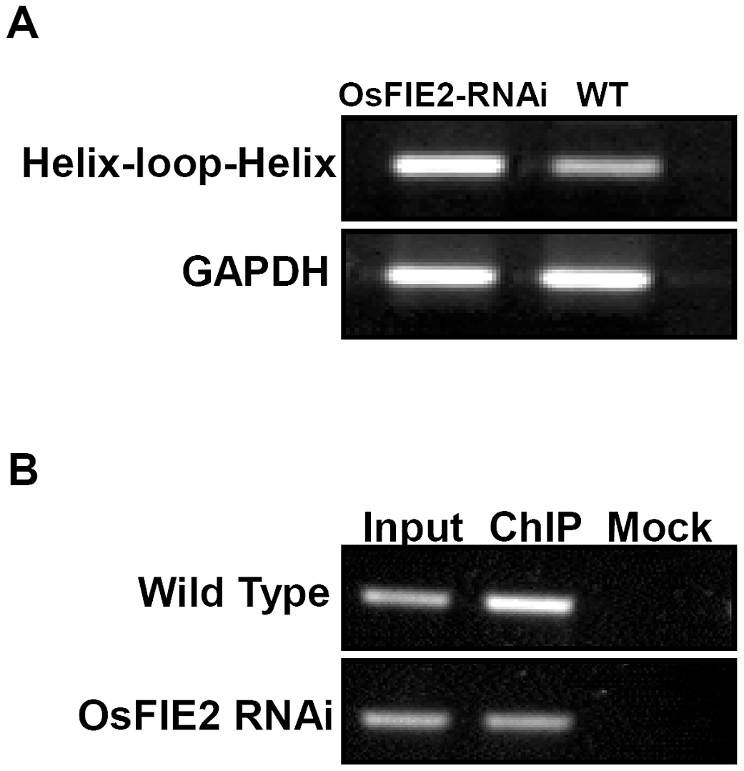 Reverse Transcription–PCR and ChIP PCR analysis of helix-loop-helix DNA binding domain containing gene in wild-type and <i>OsFIE2</i>-RNAi plants.