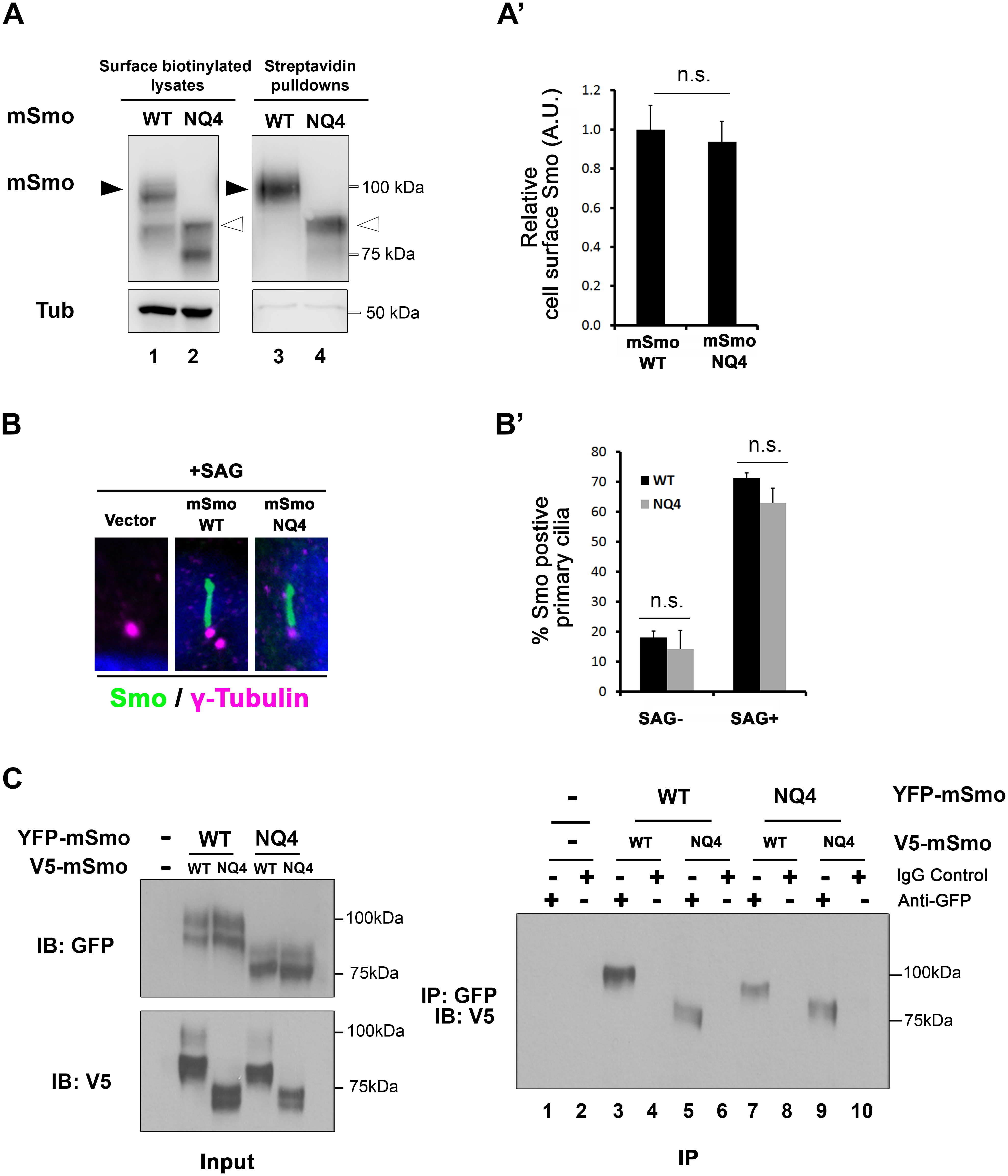 mSmo trafficking and dimerization are unaffected by N-glycan loss.