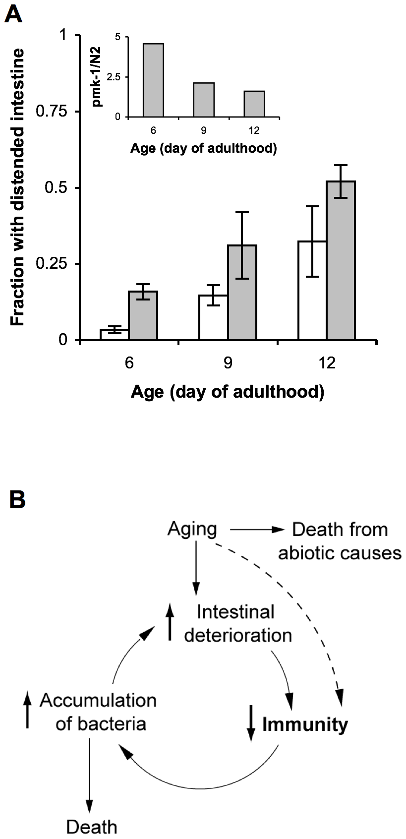 A cycle of intestinal tissue aging, immunosenescence, and progressive intestinal proliferation of bacteria towards the end of life in <i>C. elegans</i>.
