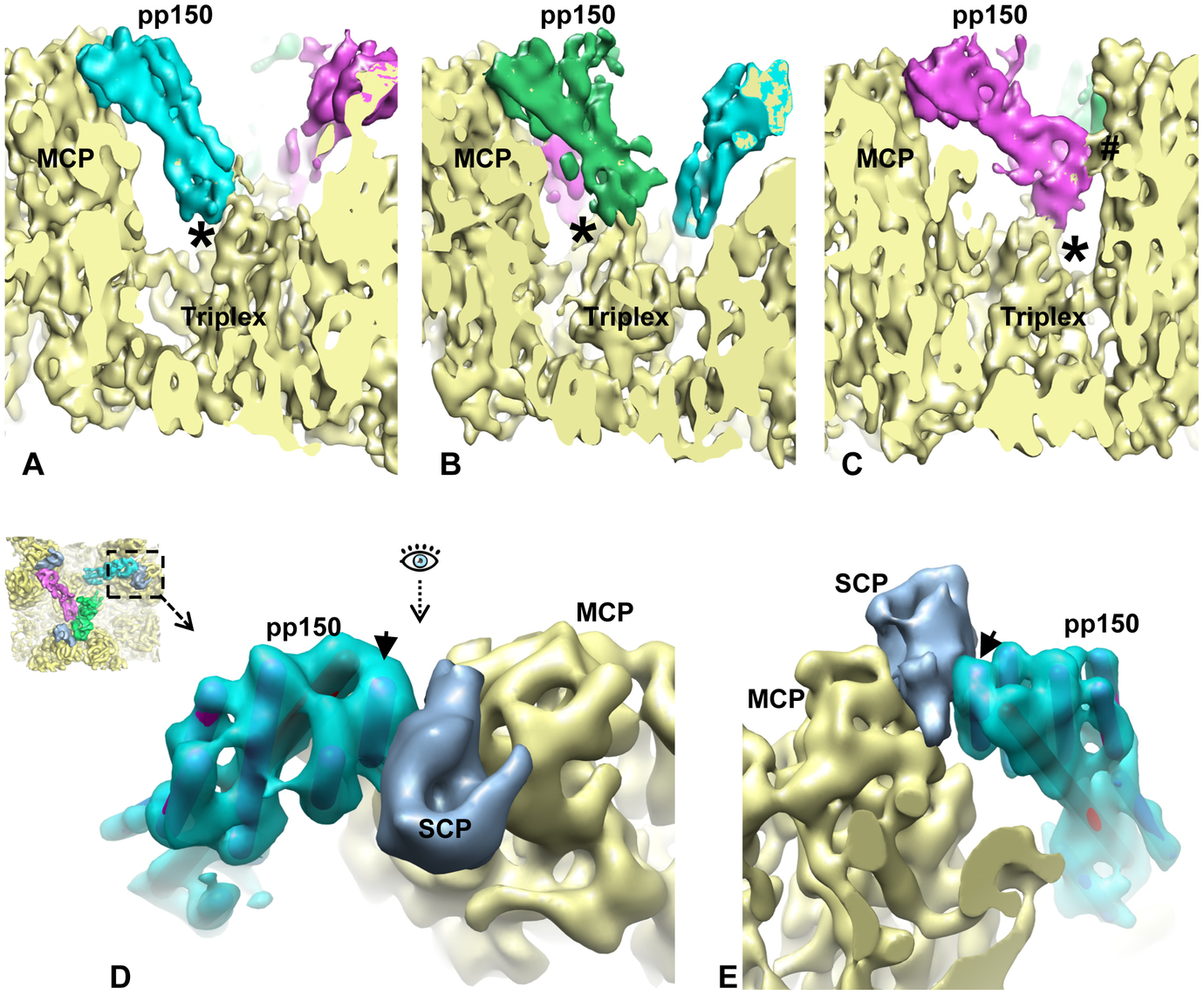 SCP mediates pp150 binding to the capsid.