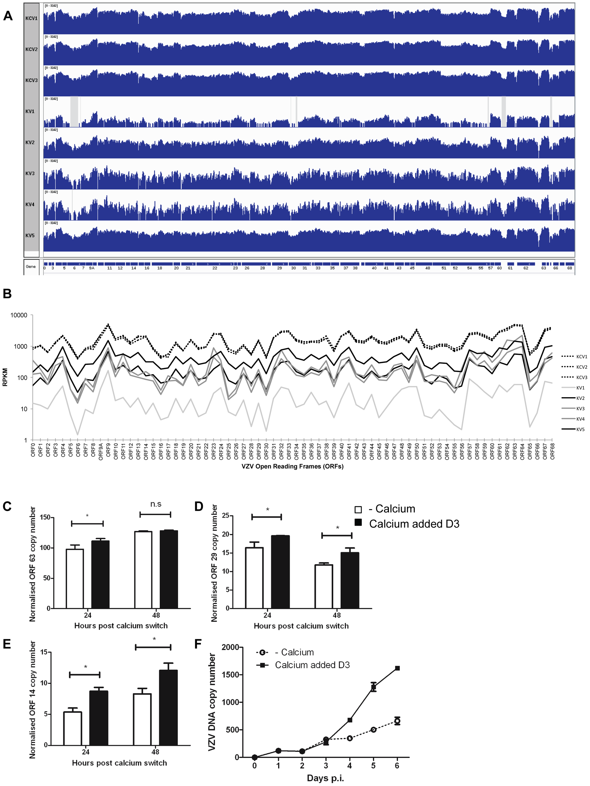 Epidermal differentiation increases VZV transcription.
