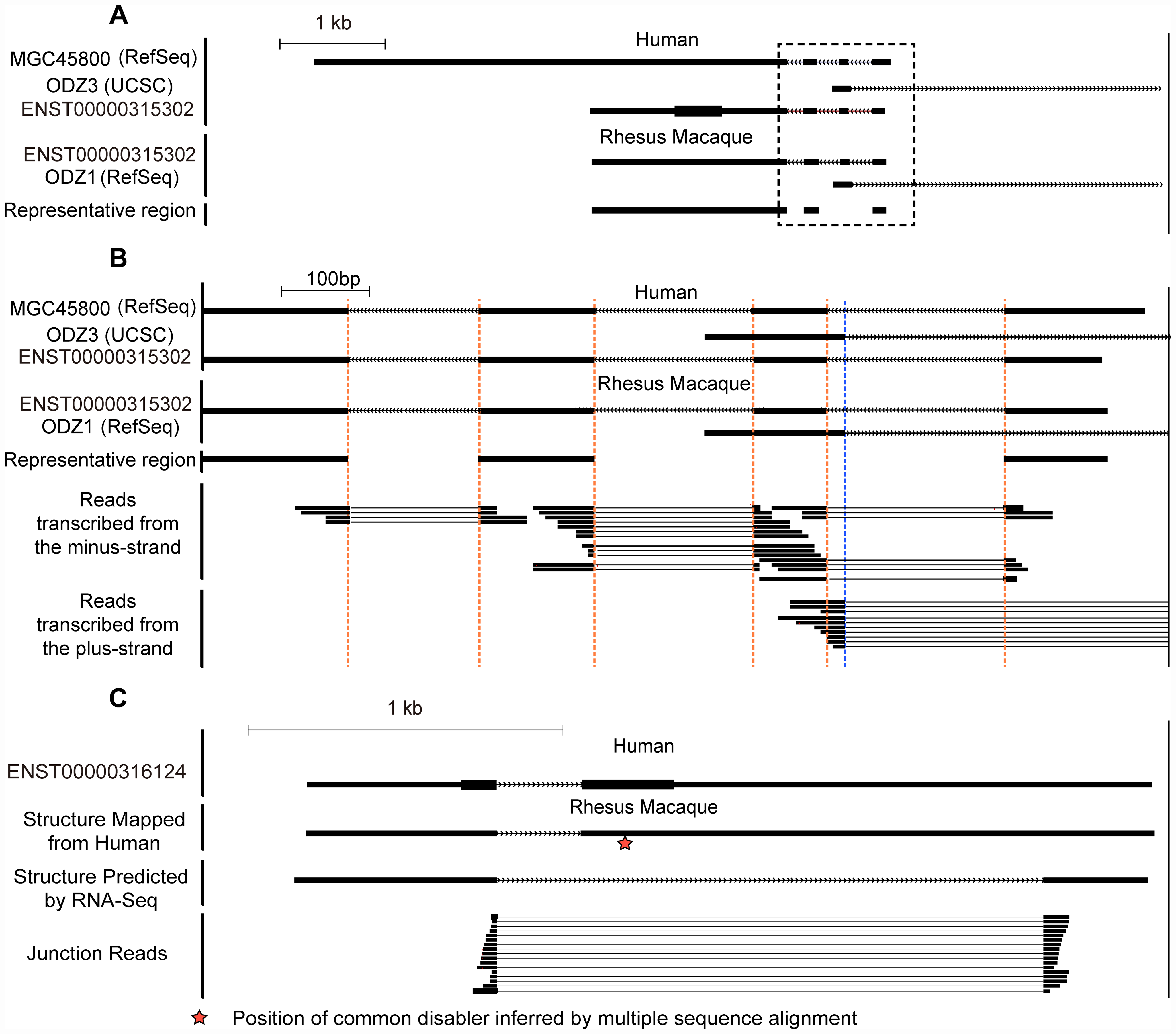 Strand-specific RNA–Seq in five rhesus tissues reveals clear transcript structure for <i>de novo</i> genes.